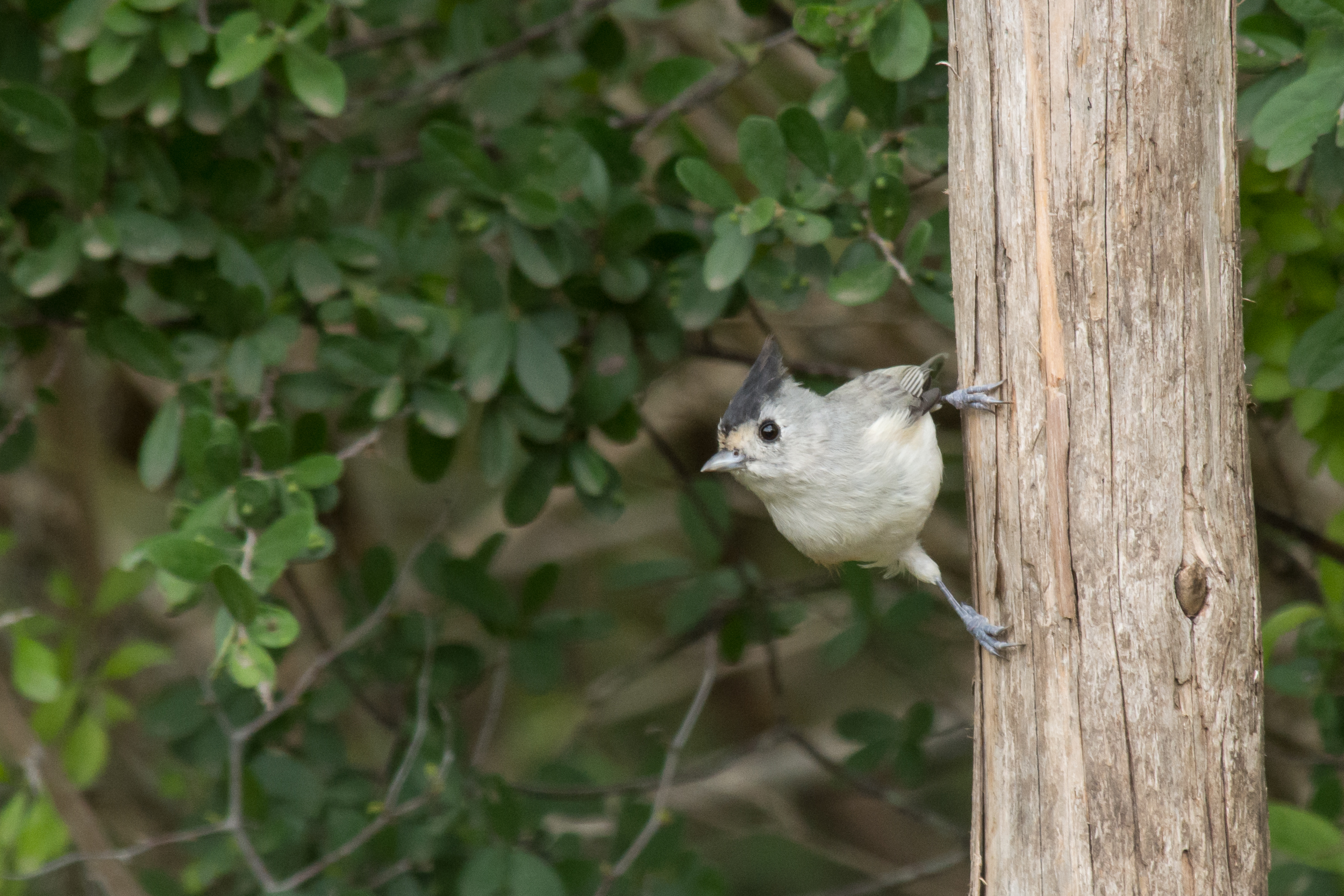 Species: Black-crested Titmouse Photo Credit: Alyssia Church Date: September 2018 Location: Warbler Woods Bird Sanctuary