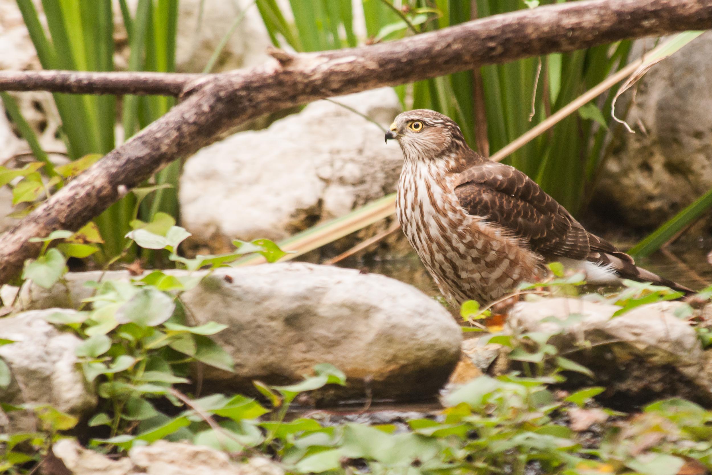 Species: Cooper's Hawk Photo Credit: Alyssia Church Date: November 2016 Location: Warbler Woods Bird Sanctuary