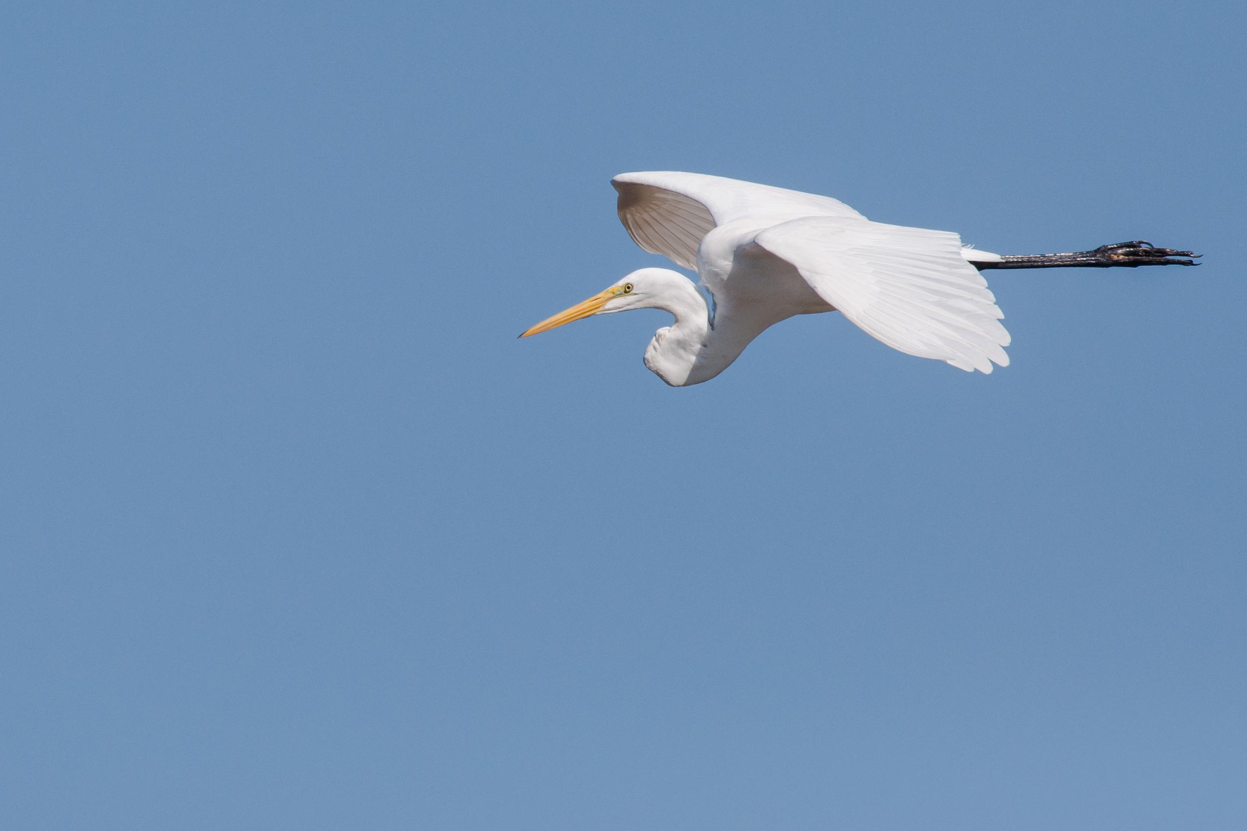 Species: Great Egret Photo Credit: Alyssia Church Date: January 2017 Location: Mitchell Lake Audubon Center