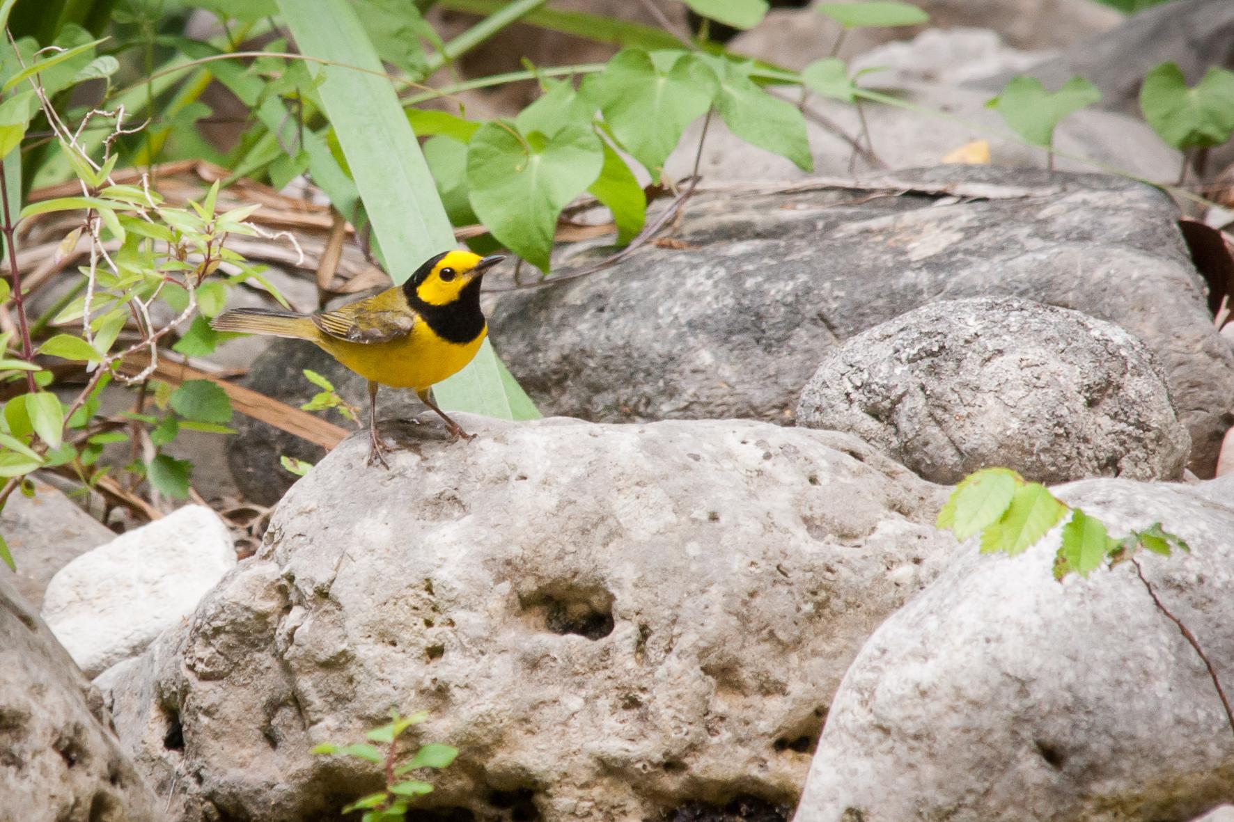 Species: Hooded Warbler Photo Credit: Alyssia Church Date: April 2017 Location: Warbler Woods Bird Sanctuary