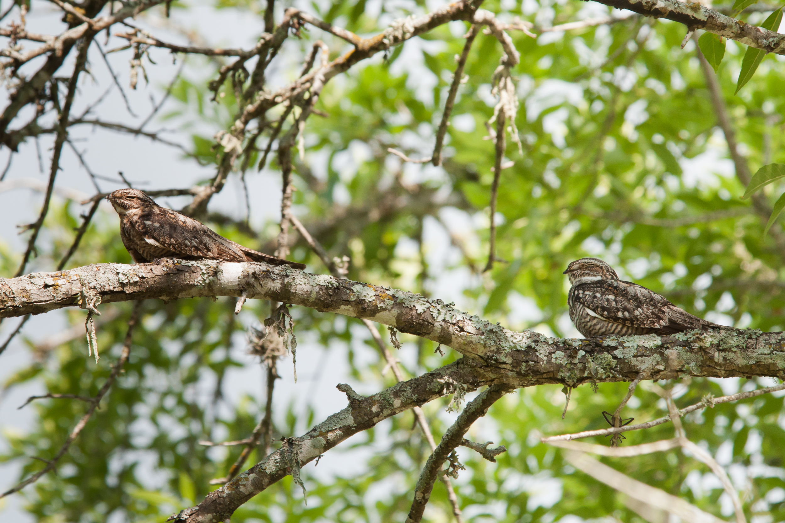 Species: Lesser Nighthawk Photo Credit: Alyssia Church Date: June 2016 Location: Crescent Bend Nature Park