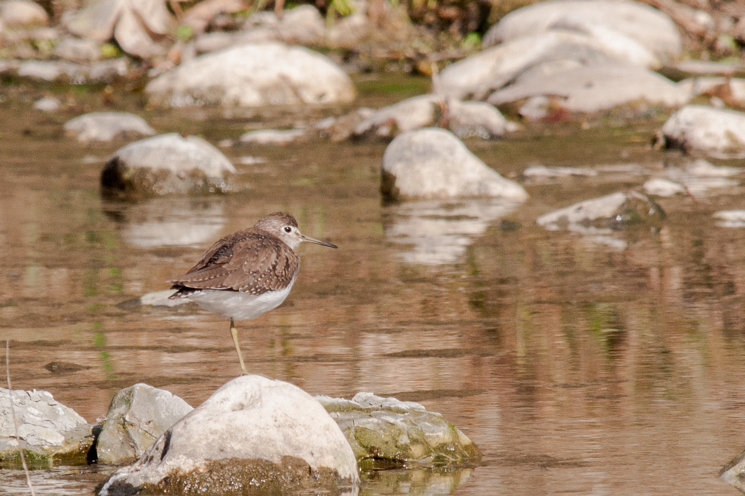 Species: Solitary Sandpiper Photo Credit: Alyssia Church Date: January 2017 Location: Crescent Bend Nature Park