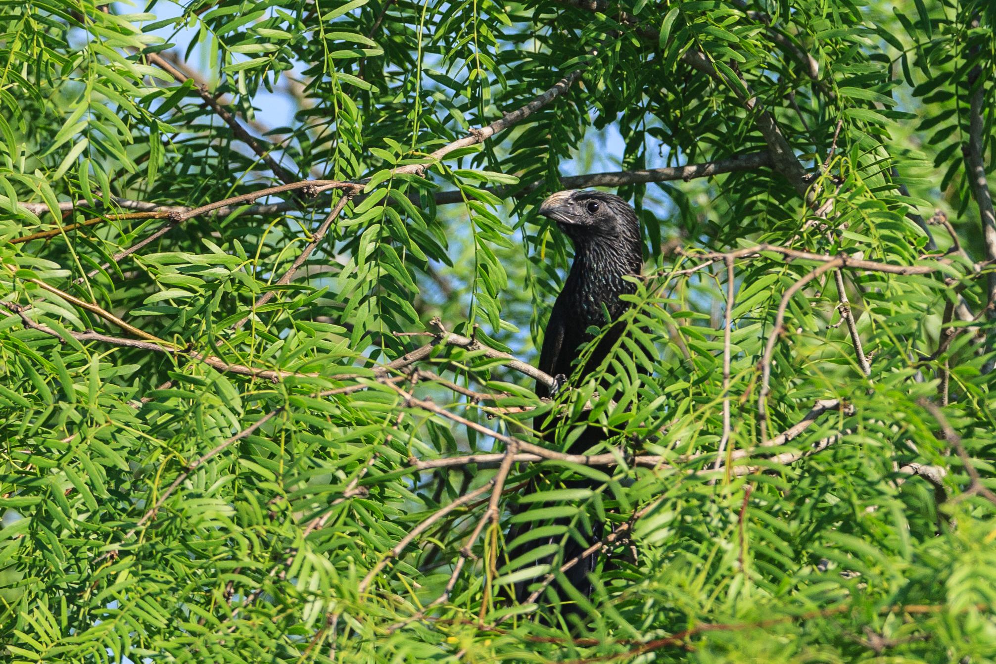 Species: Groove-billed Ani Photo Credit: Damian Martinez Date: May 2018 Location: Mitchell Lake Audubon Center