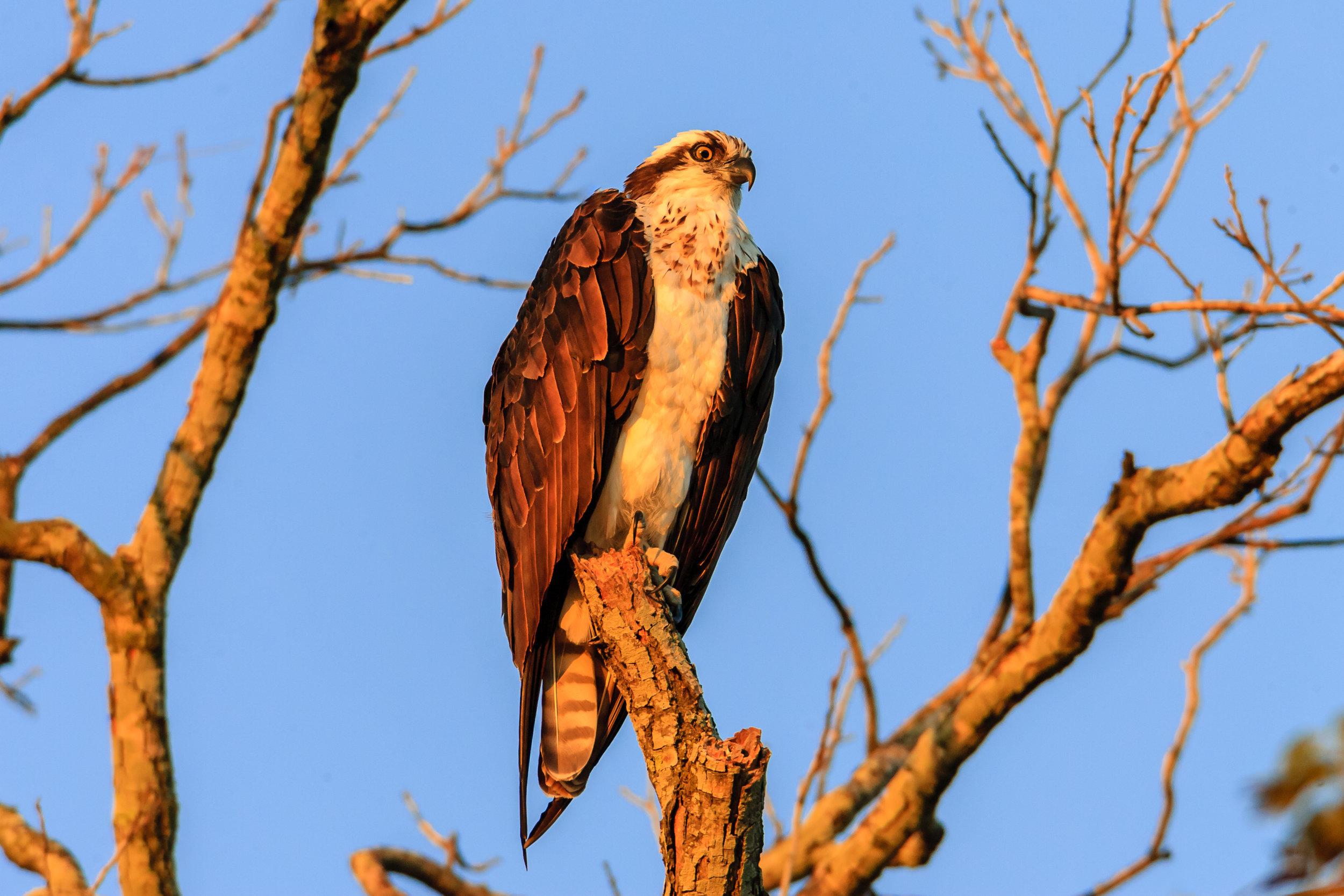 Species: Osprey Photo Credit: Damian Martinez Date: October 2016 Location: Acequia Park