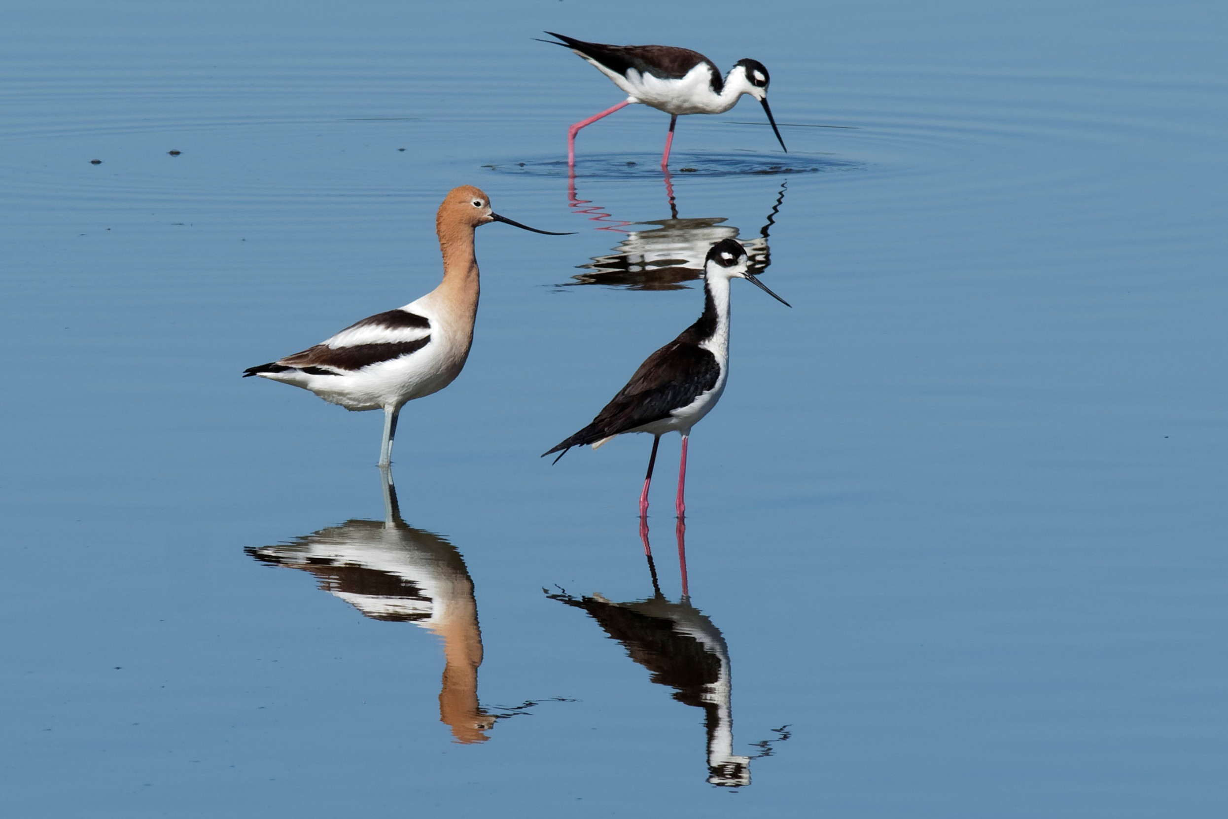 Species: American Avocet and Black-necked Stilt Photo Credit: Dina Perry Date: April 2018 Location: Mitchell Lake Audubon Center