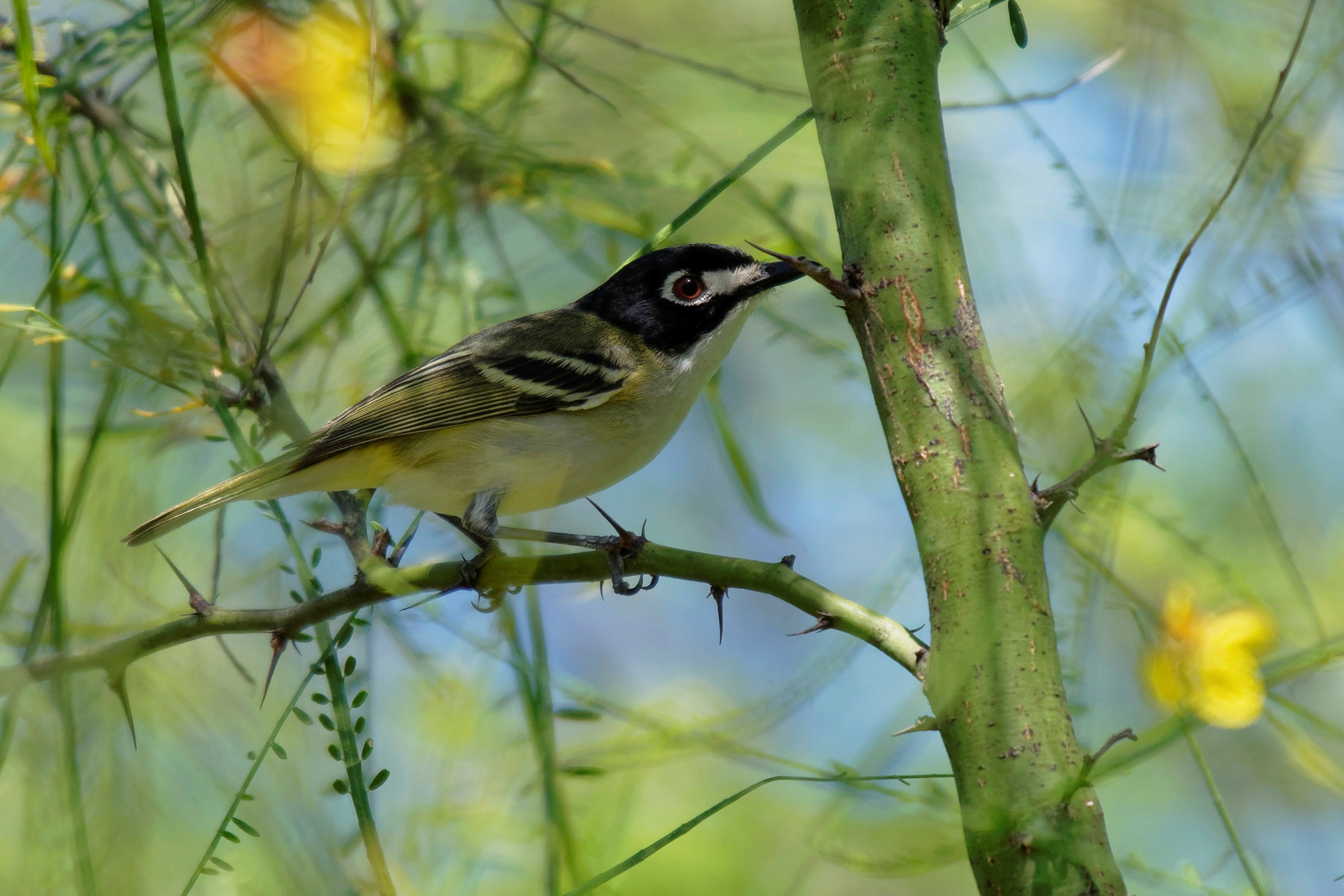 Species: Black-capped Vireo Photo Credit: Dina Perry Date: May 2018 Location: Confluence Park