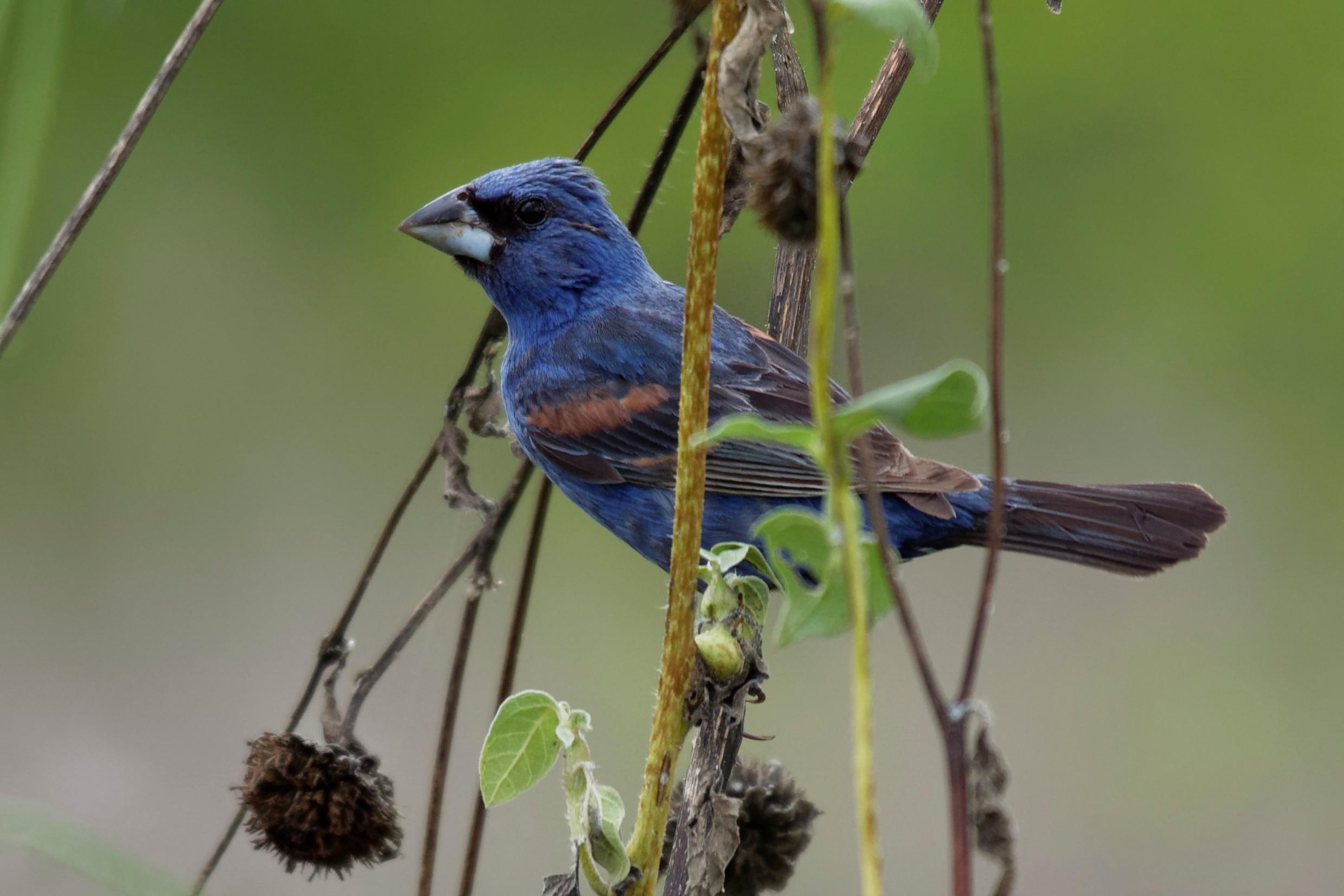 Species: Blue Grosbeak Photo Credit: Dina Perry Date: September 2018 Location: Mitchell Lake Audubon Center