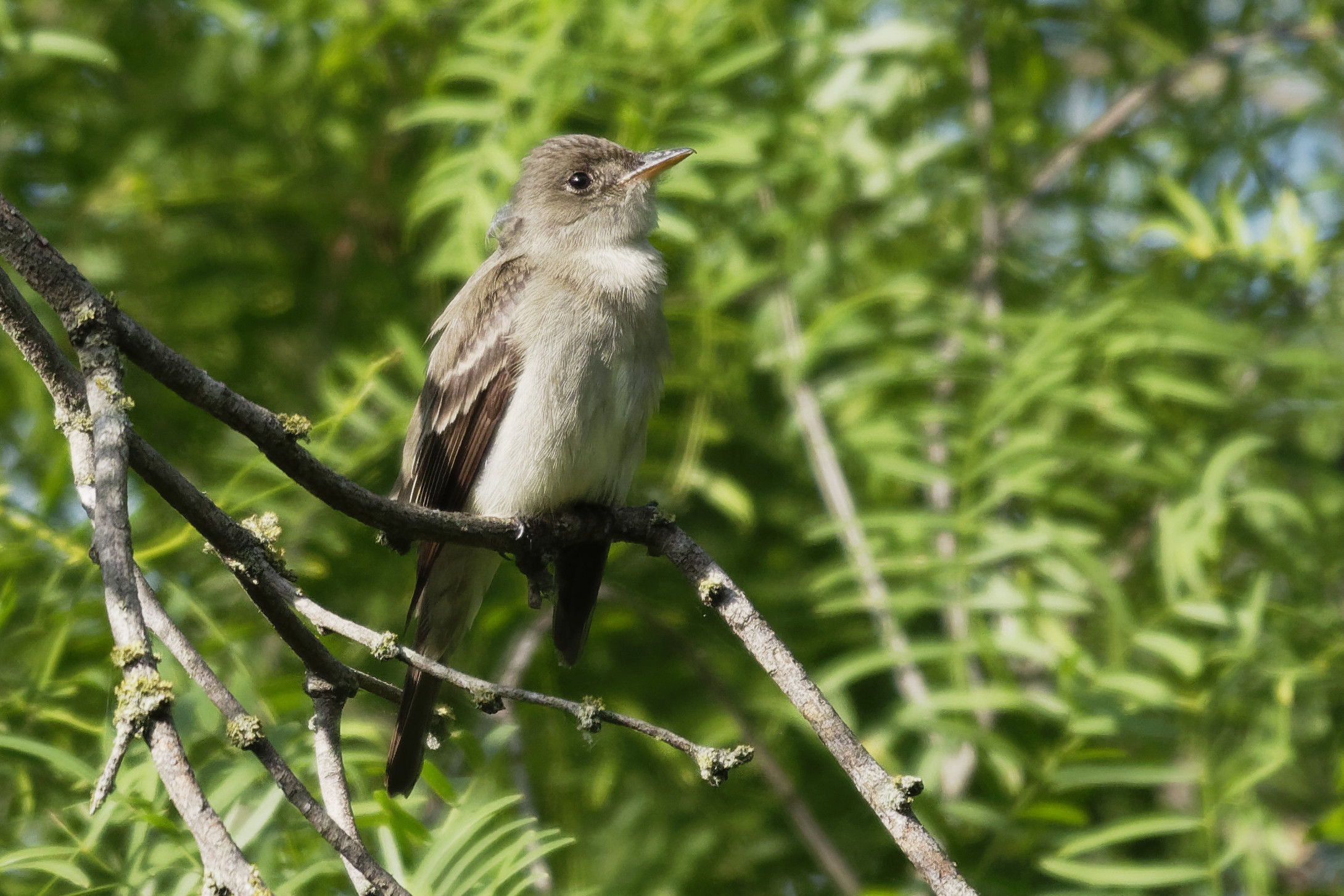 Species: Eastern Wood-Pewee Photo Credit: Dina Perry Date: May 2019 Location: Mitchell Lake Audubon Center