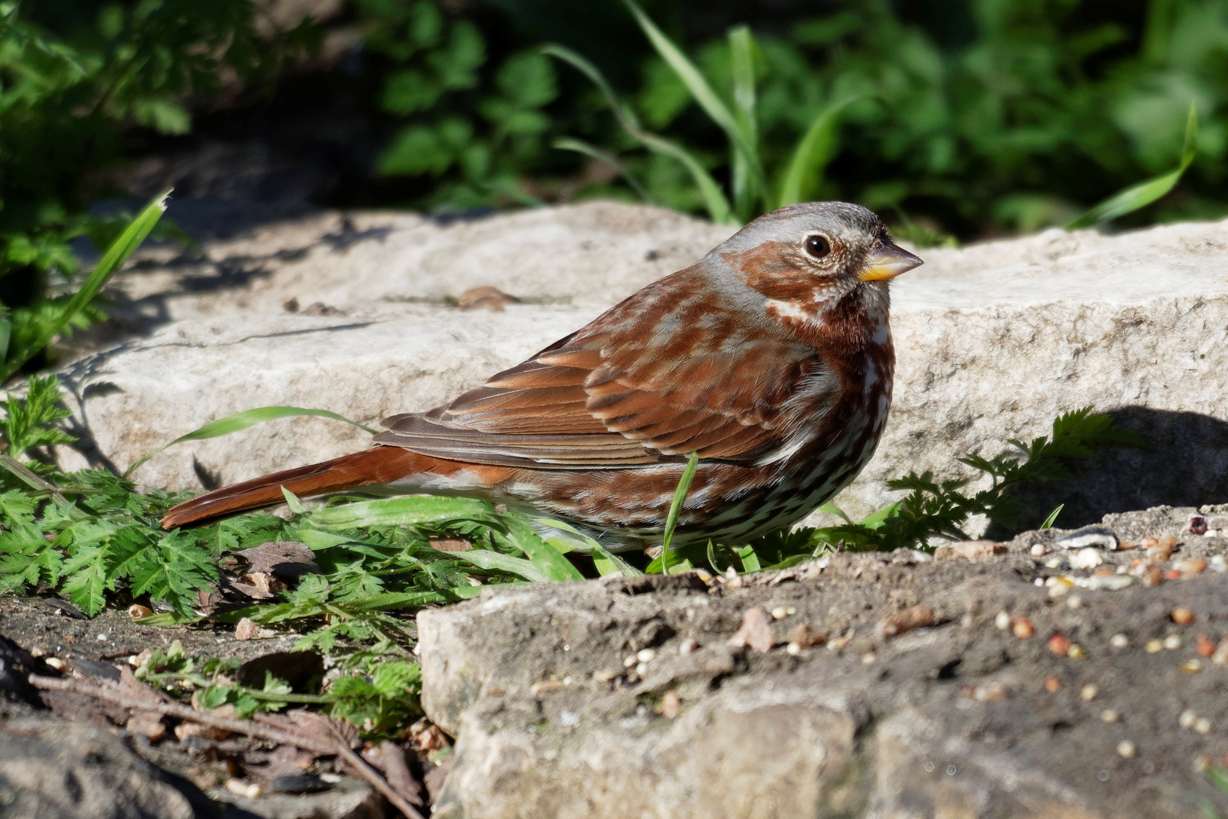 Species: Fox Sparrow Photo Credit: Dina Perry Date: February 2019 Location: Crescent Bend Nature Park