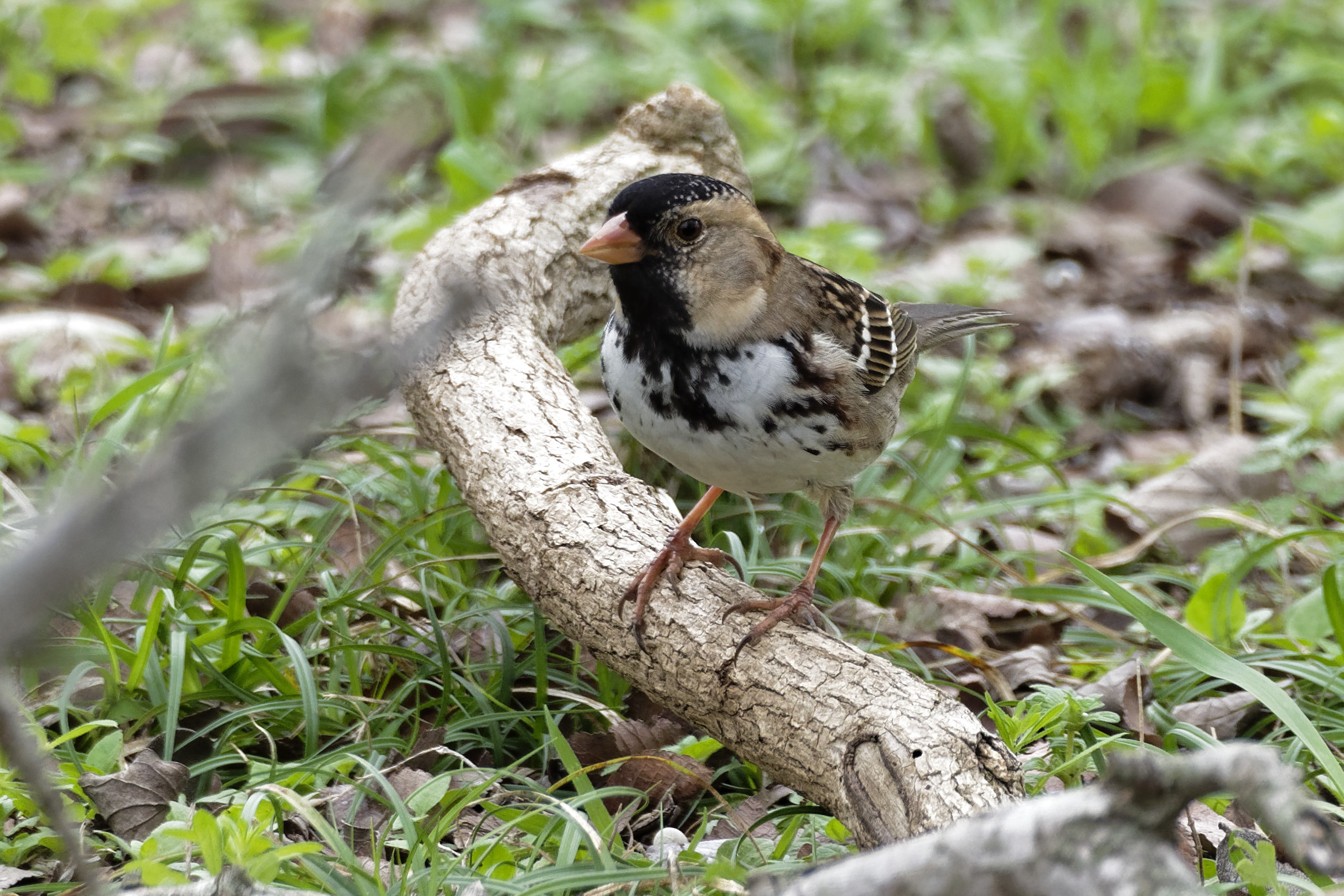 Species: Harris's Sparrow Photo Credit: Dina Perry Date: February 2018 Location: Crescent Bend Nature Park