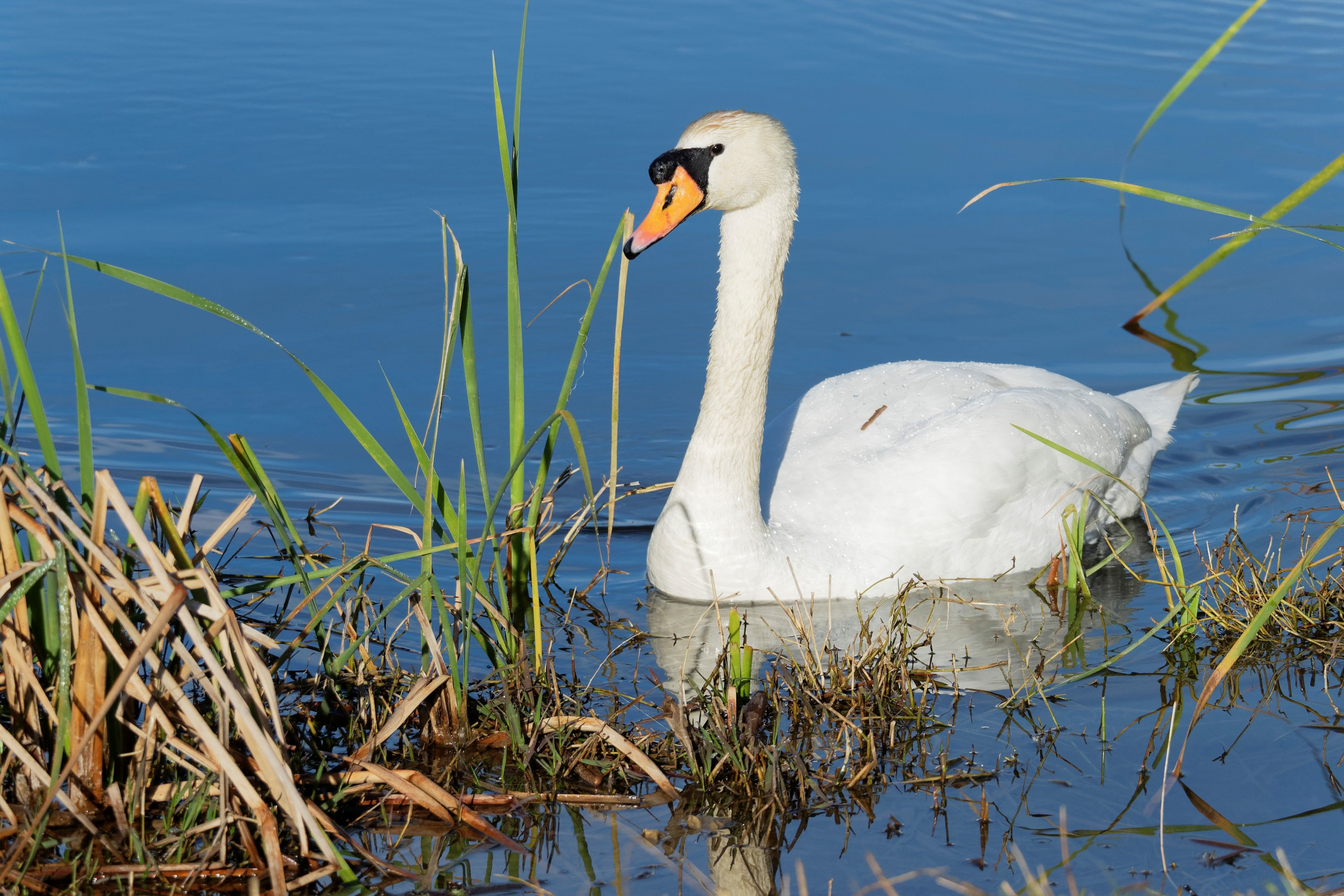 Species: Mute Swan Photo Credit: Dina Perry Date: February 2019 Location: Converse North Park
