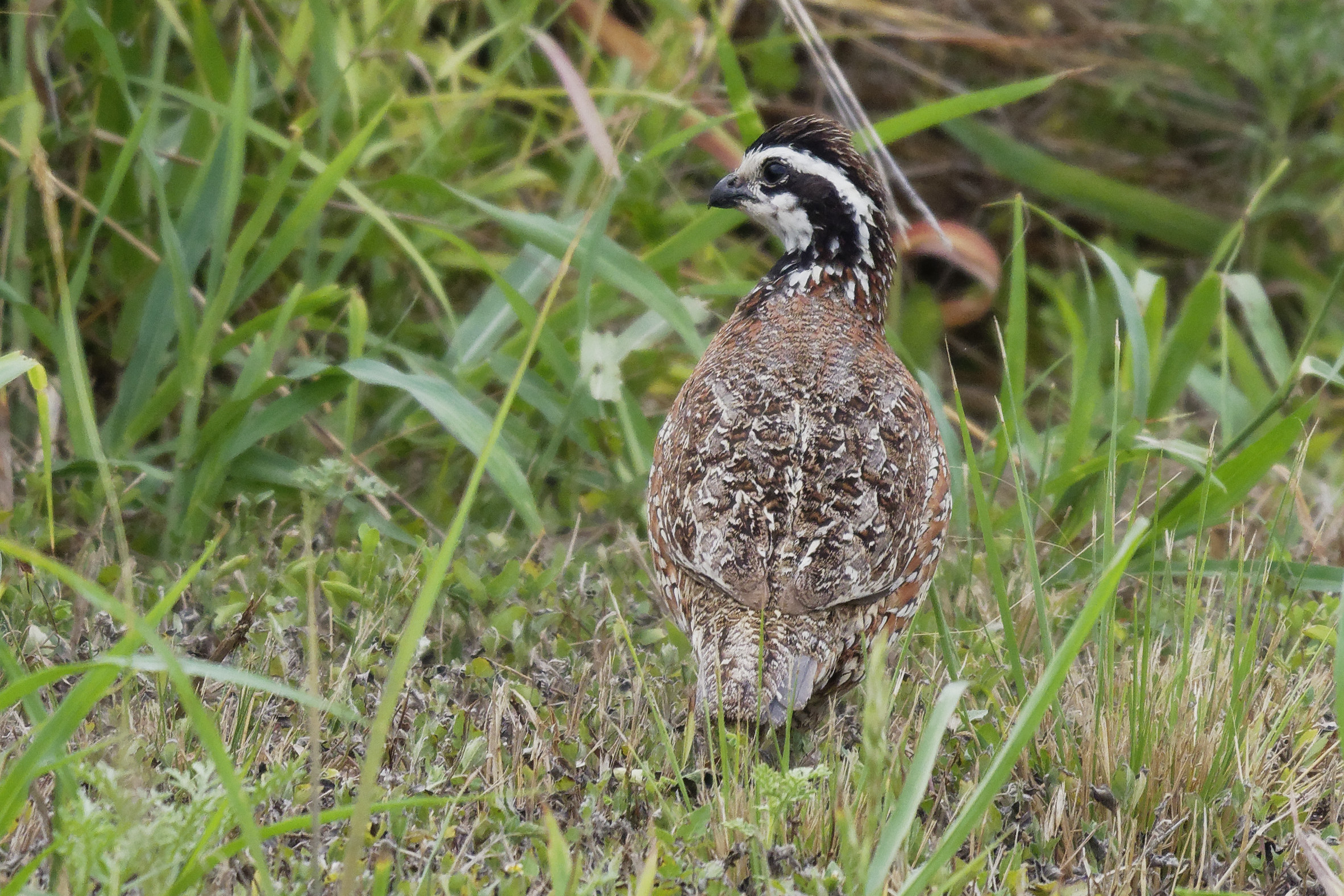 Species: Northern Bobwhite (male) Photo Credit: Dina Perry Date: May 2018 Location: Calaveras Lake