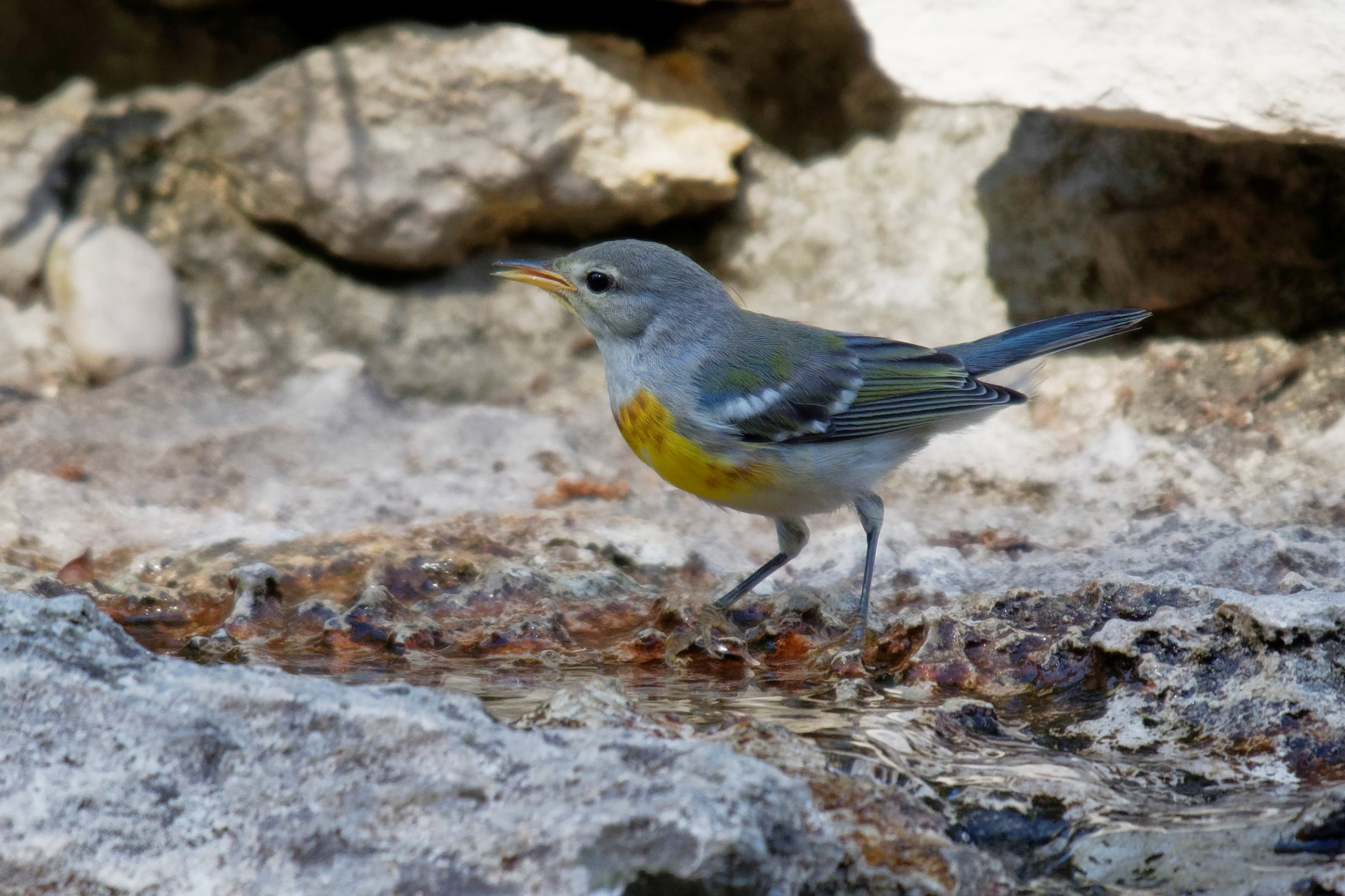 Species: Northern Parula Photo Credit: Dina Perry Date: June 2018 Location: Guadalupe River State Park