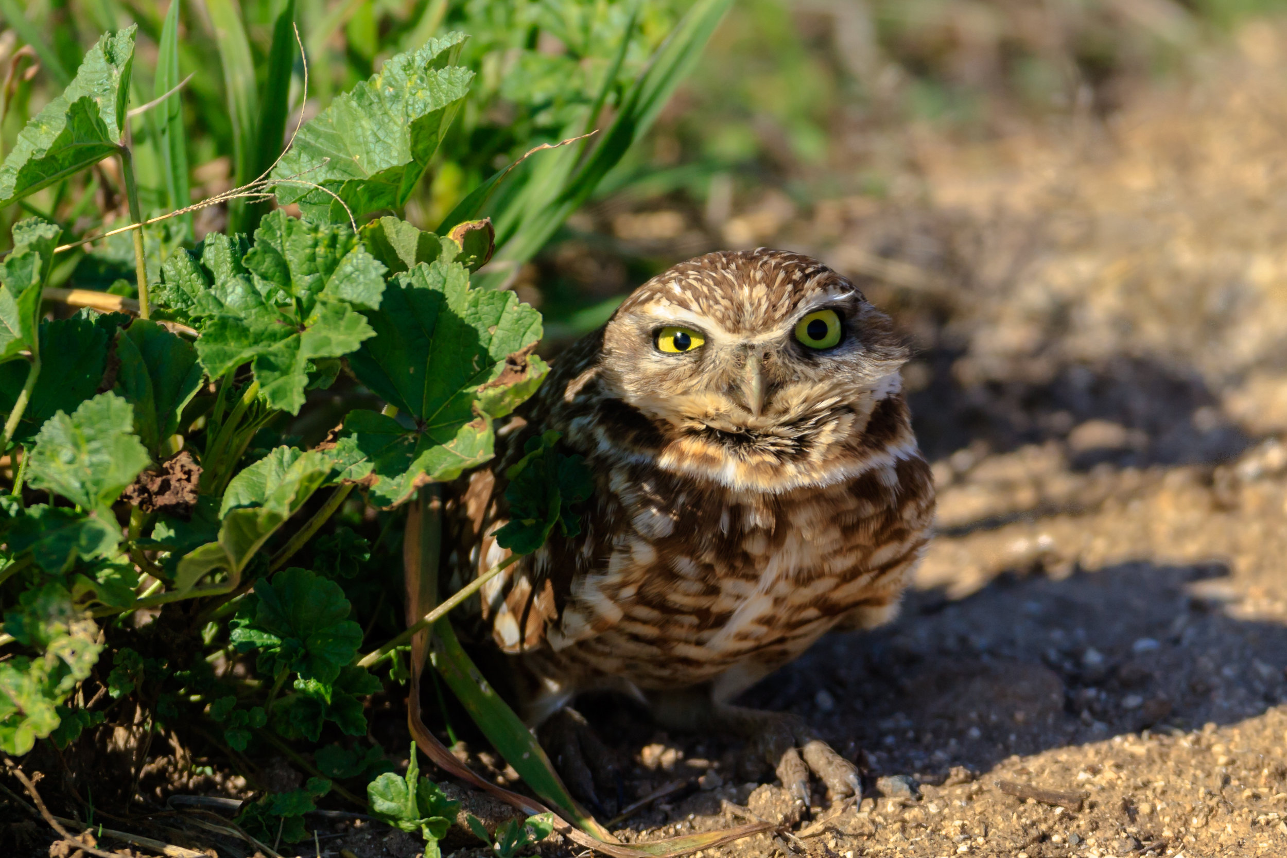 Species: Burrowing Owl Photo Credit: Damian Martinez Date: January 2018 Location: Mechler Rd., Bexar County
