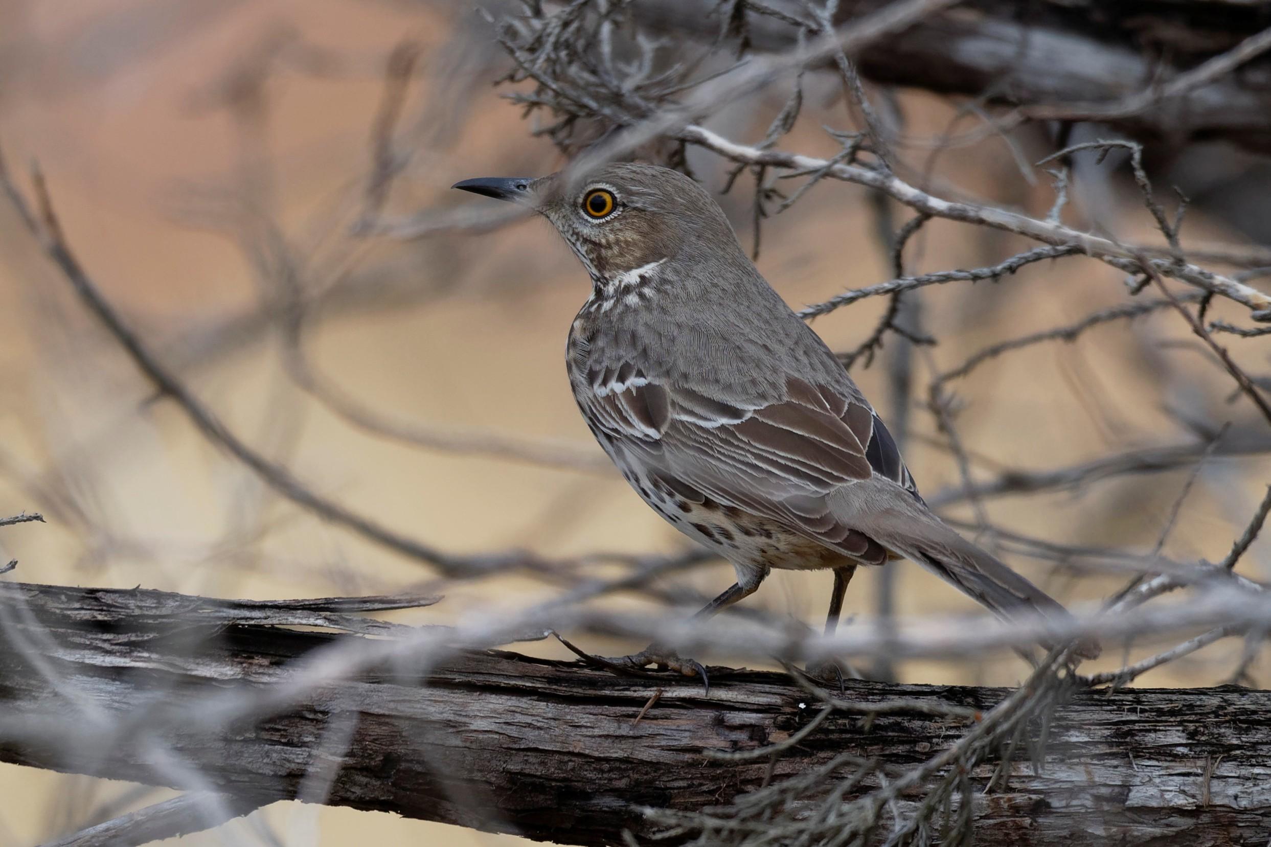 Species: Sage Thrasher Photo Credit: Dina Perry Date: November 2018 Location: Honey Creek SNA