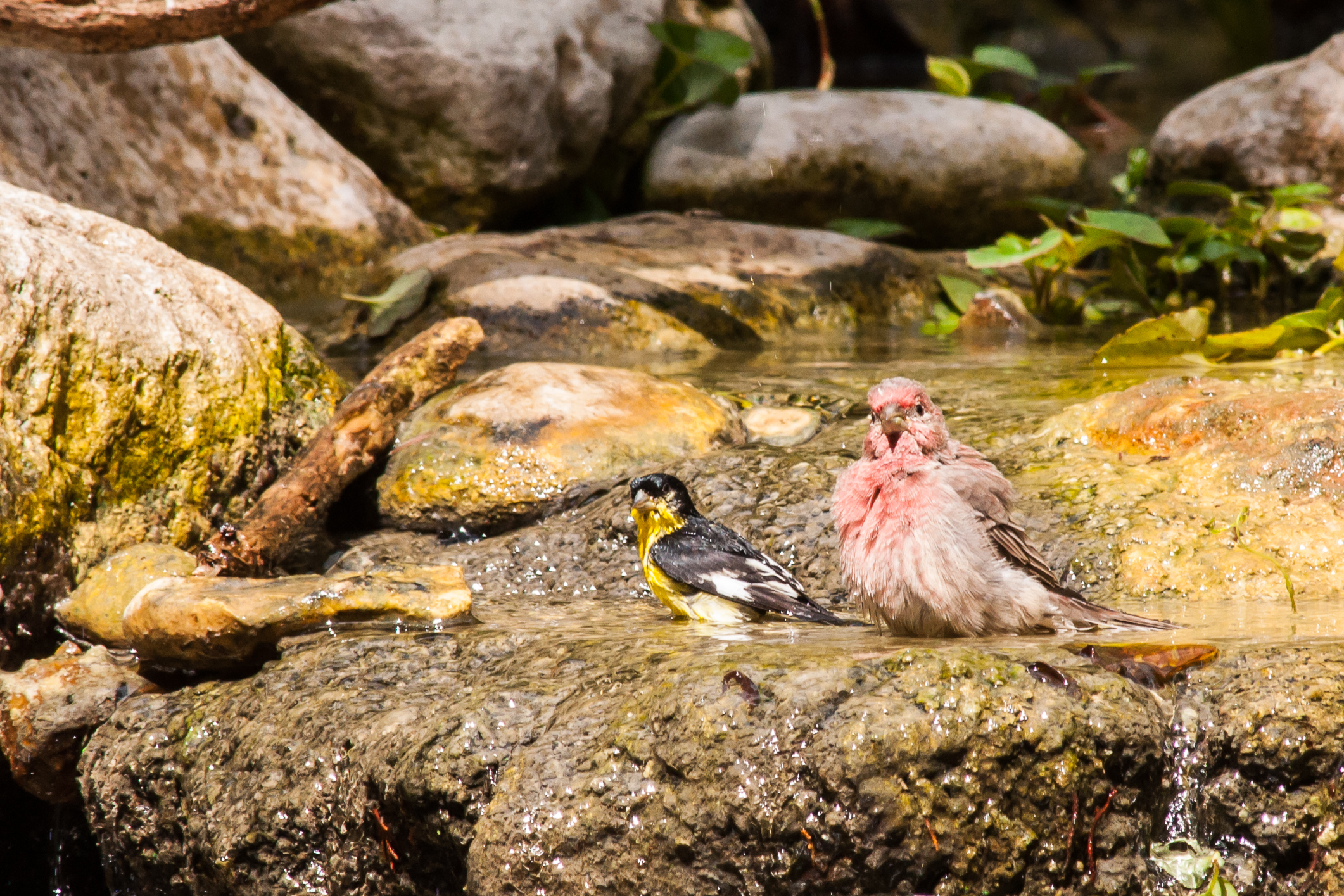 Species: House Finch and Lesser Goldfinch Photo Credit: Alyssia Church Date: August 2016 Location: Warbler Woods Bird Sanctuary