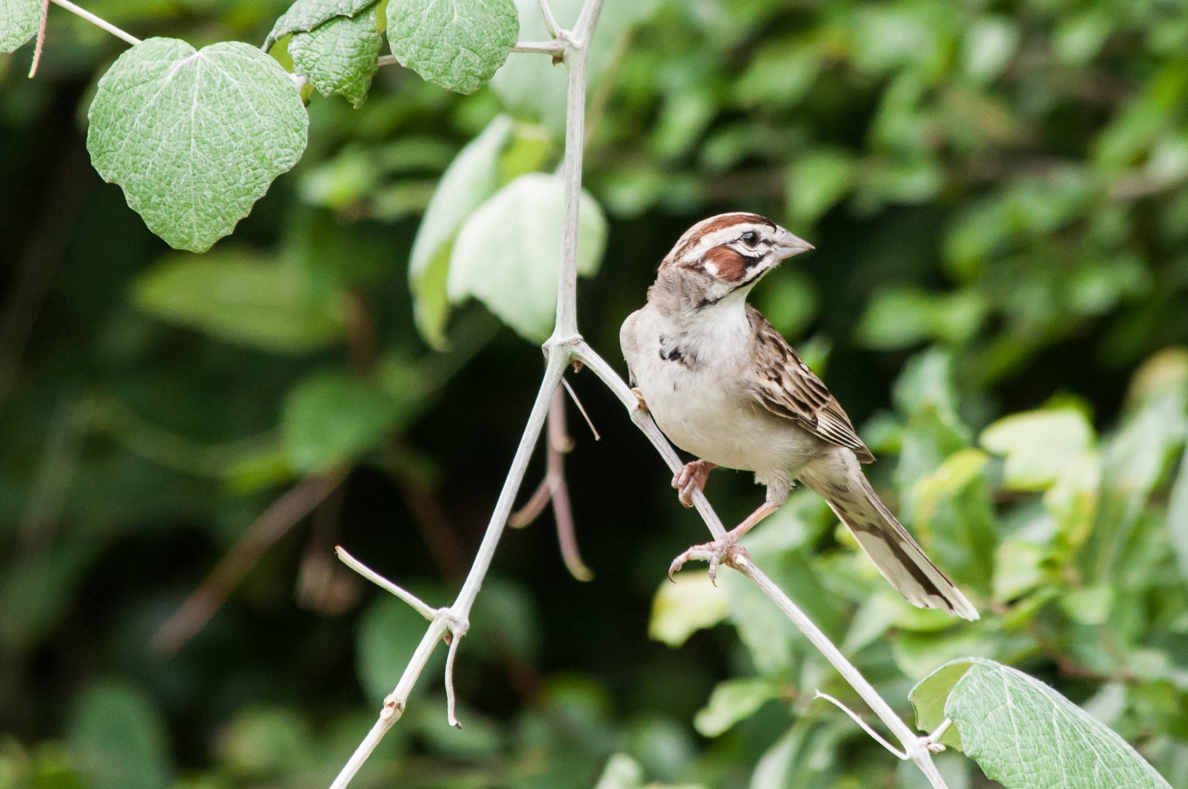 Species: Lark Sparrow Photo Credit: Alyssia Church Date: June 2017 Location: Warbler Woods Bird Sanctuary