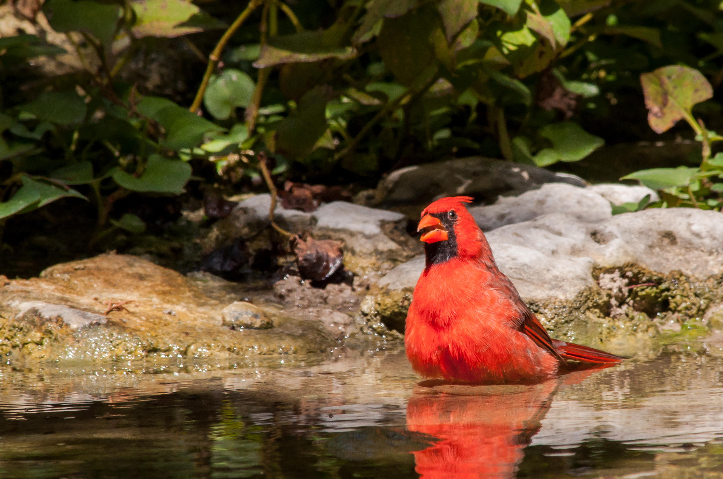 Species: Northern Cardinal (male) Photo Credit: Alyssia Church Date: September 2016 Location: Warbler Woods Bird Sanctuary