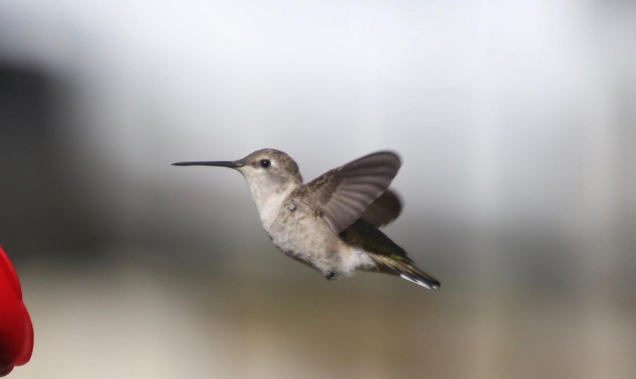 Species: Black-chinned Hummingbird Photo Credit: Zachary Tonzetich Date: March 2019 Location: Northern San Antonio