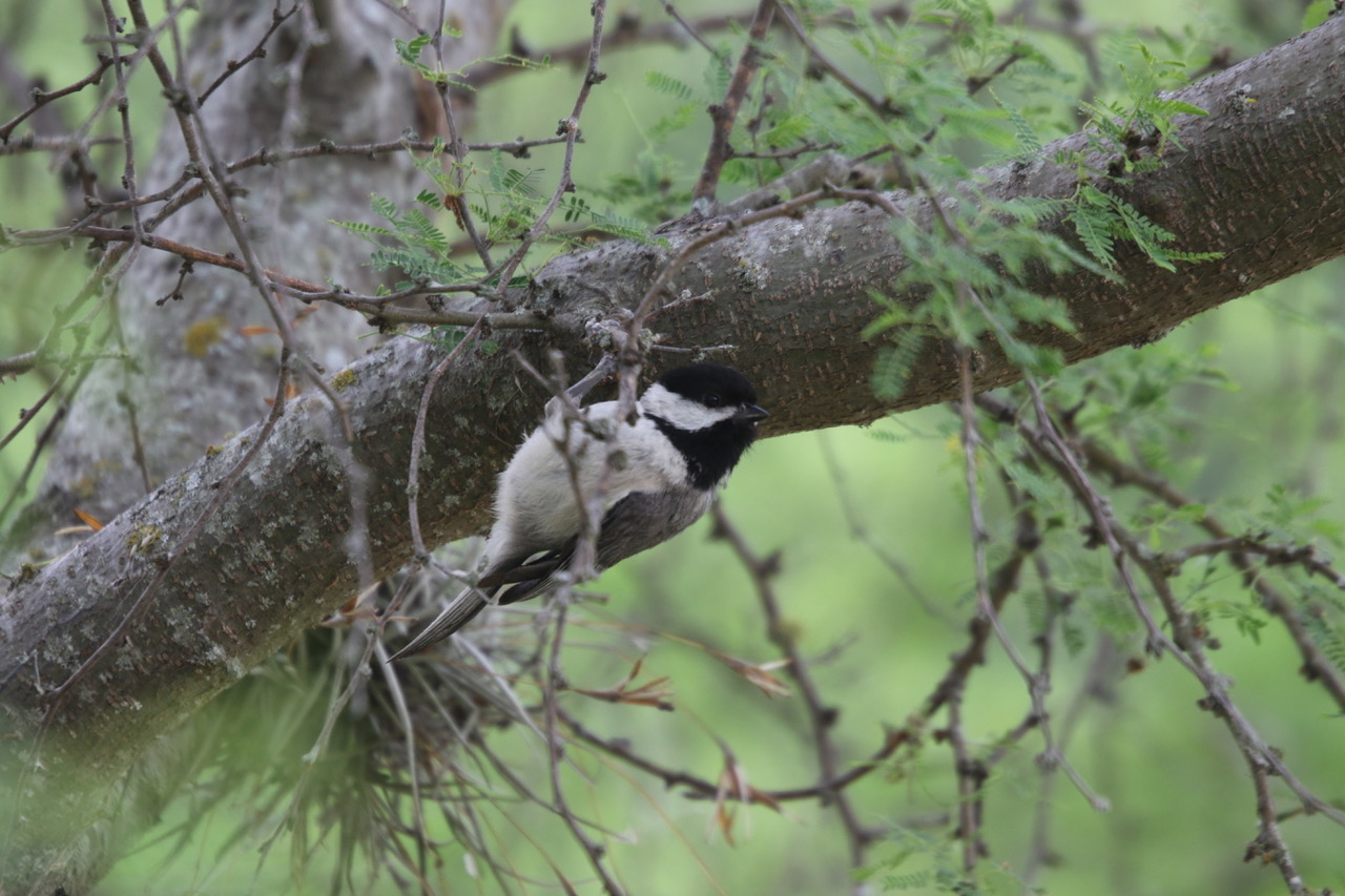 Species: Carolina Chickadee Photo Credit: Zachary Tonzetich Date: April 2019 Location: Leon Creek Greenway