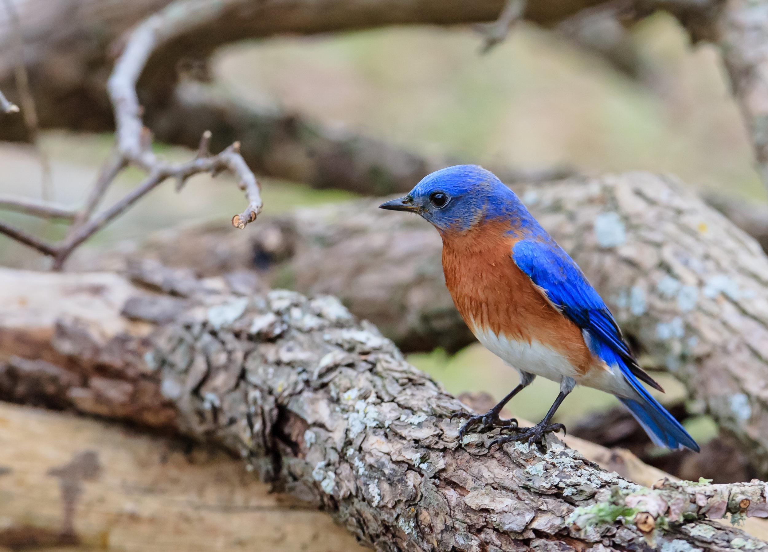 Species: Eastern Bluebird Photo Credit: Damian Martinez Date: Jan 2017 Location: Crescent Bend Nature Park