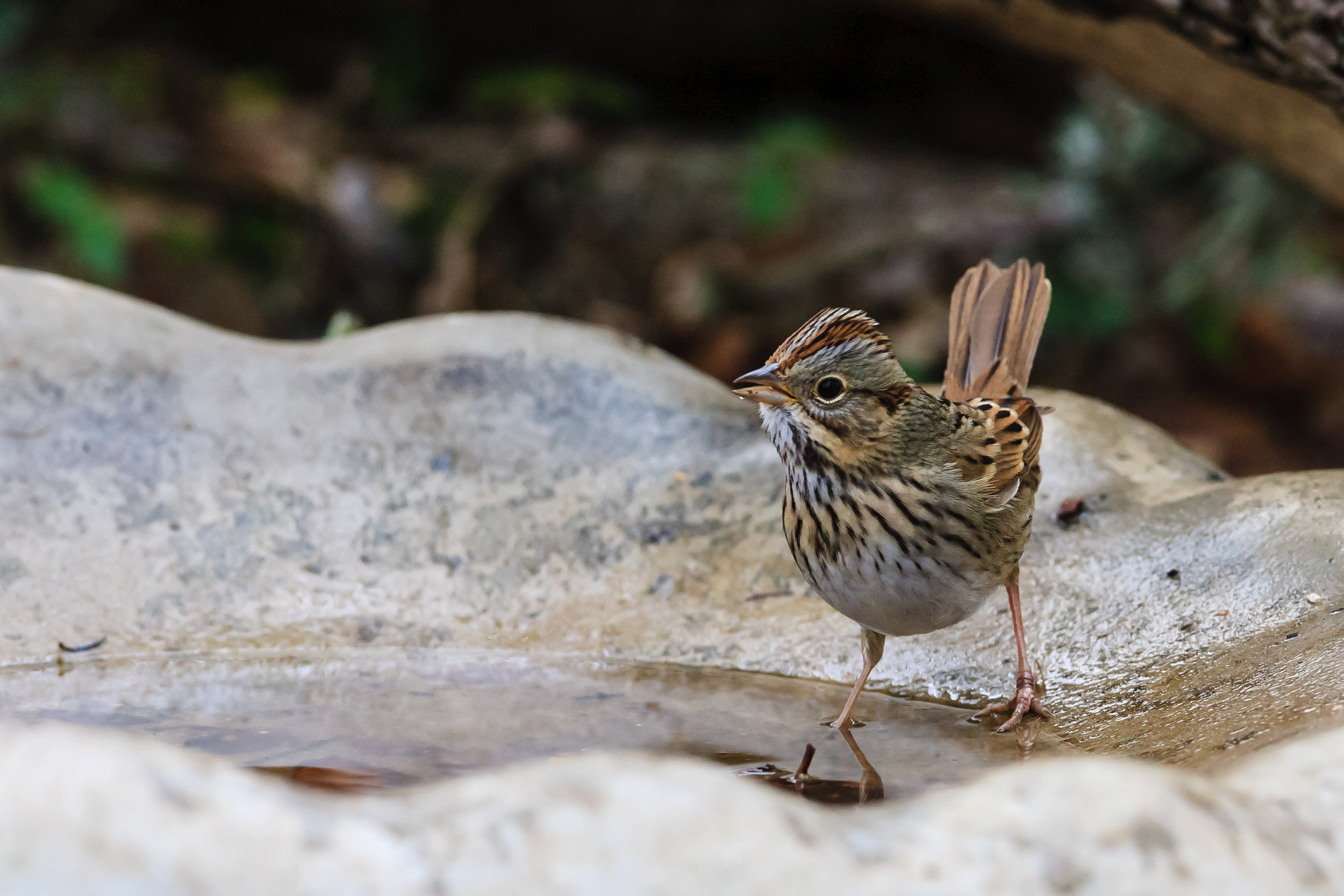 Species: Lincoln's Sparrow Photo Credit: Damian Martinez Date: January 2017 Location: Crescent Bend Nature Park
