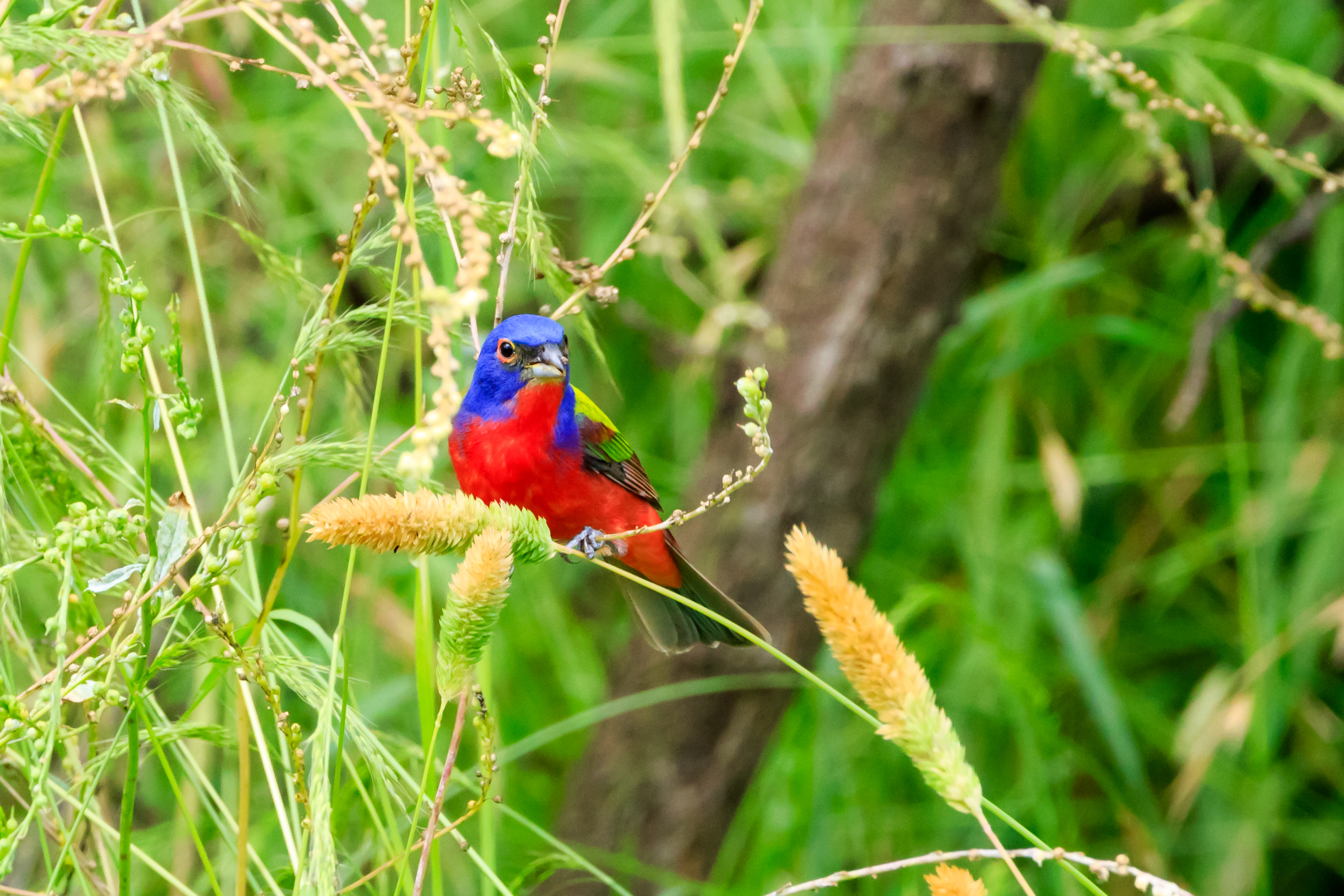Species: Painted Bunting Photo Credit: Damian Martinez Date: May 2019 Location: Hondo Nature Trail