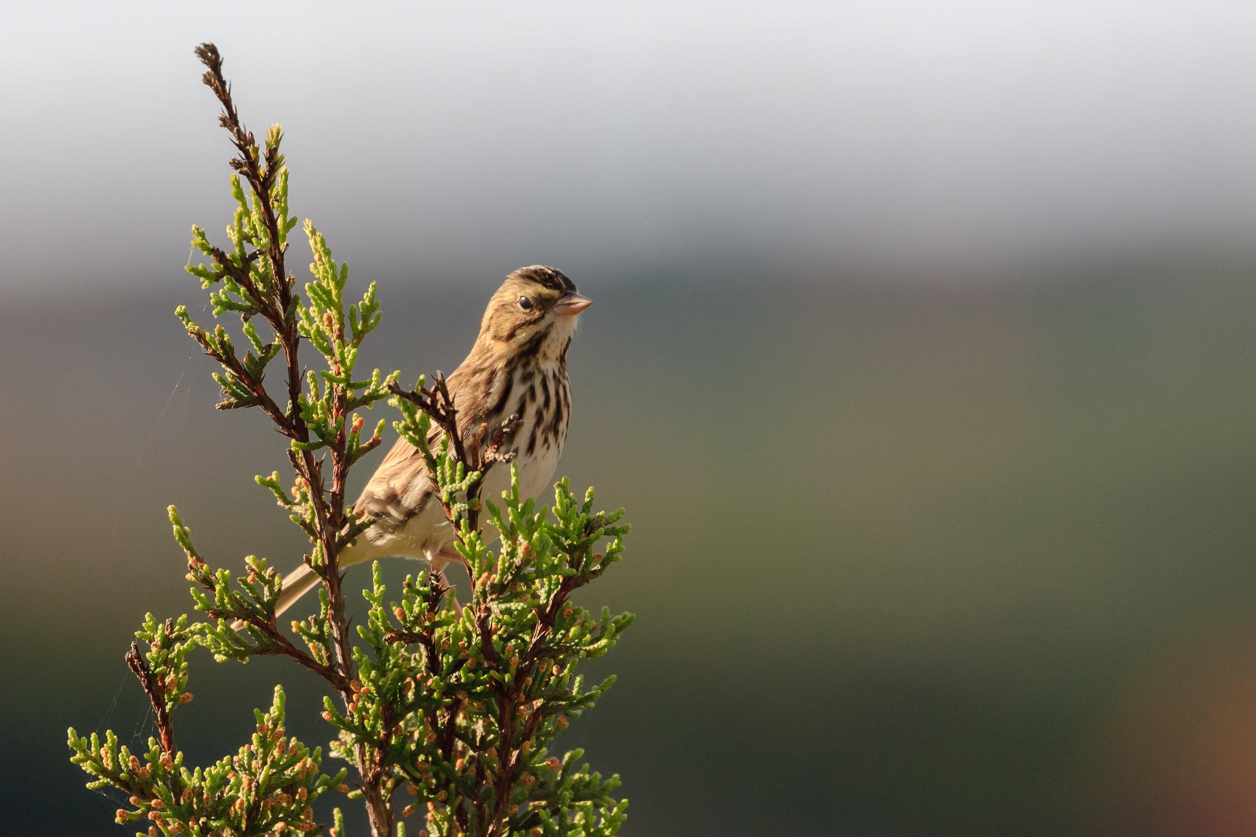 Species: Savannah Sparrow Photo Credit: Damian Martinez Date: November 2018 Location: Joshua Springs Park and Preserve