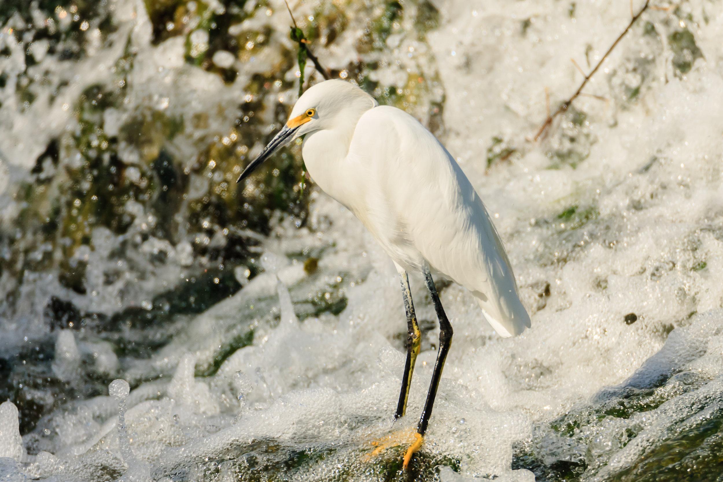Species: Snowy Egret Photo Credit: Damian Martinez Date: October 2016 Location: Acequia Park