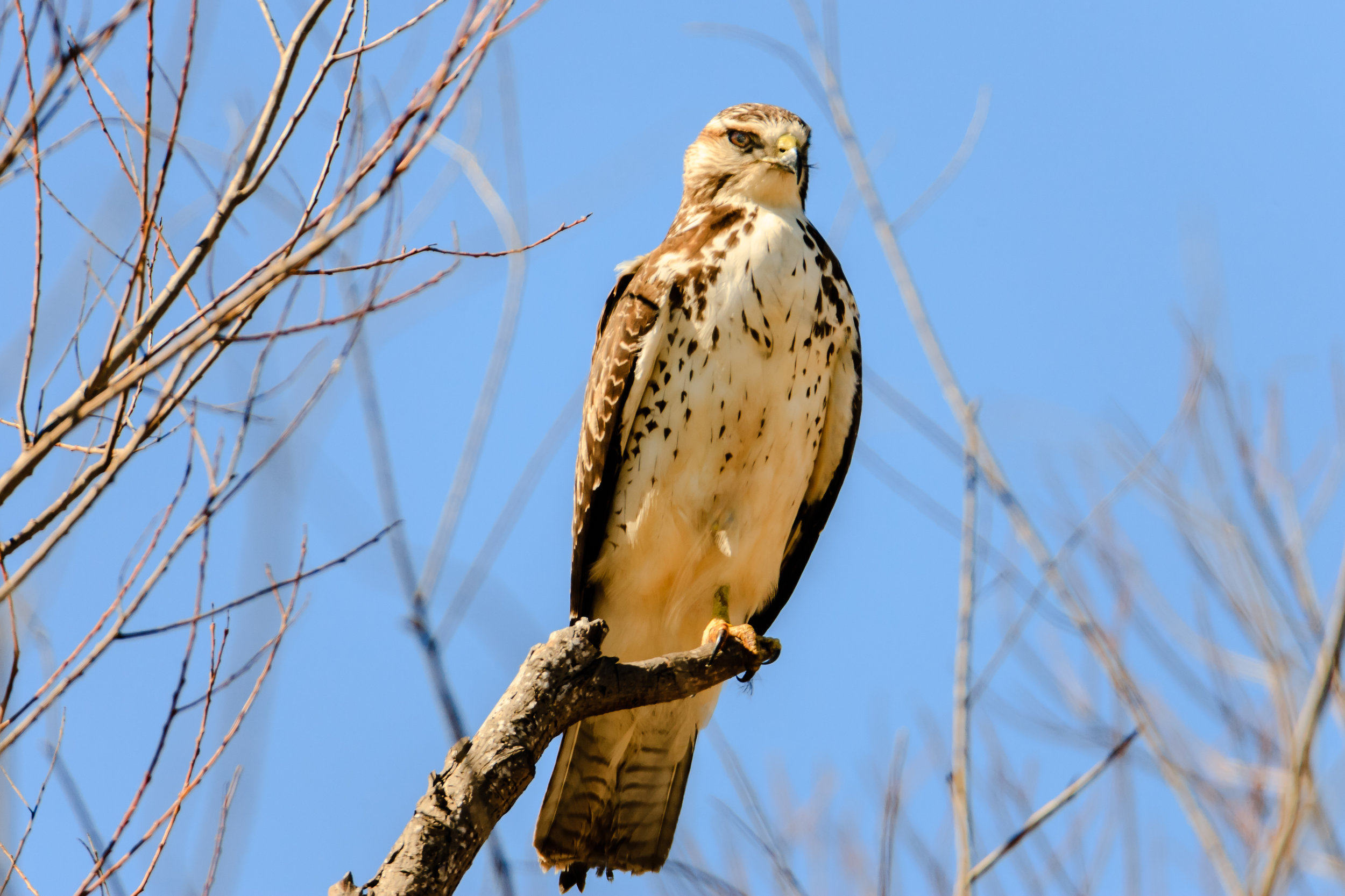 Species: Swainson's Hawk Photo Credit: Damian Martinez Date: February 2017 Location: Cagnon Rd., Bexar County