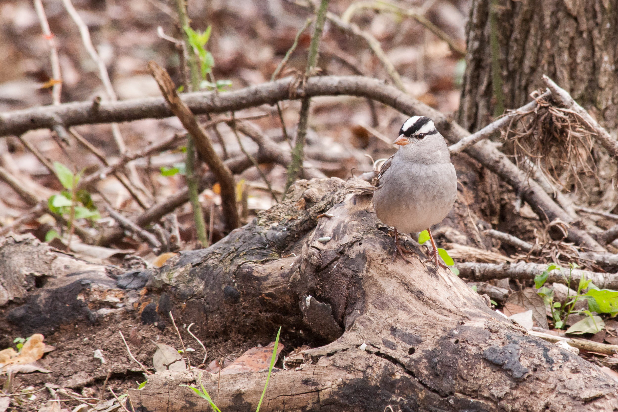 Species: White-crowned Sparrow Photo Credit: Alyssia Church Date: January 2017 Location: Warbler Woods Bird Sanctuary