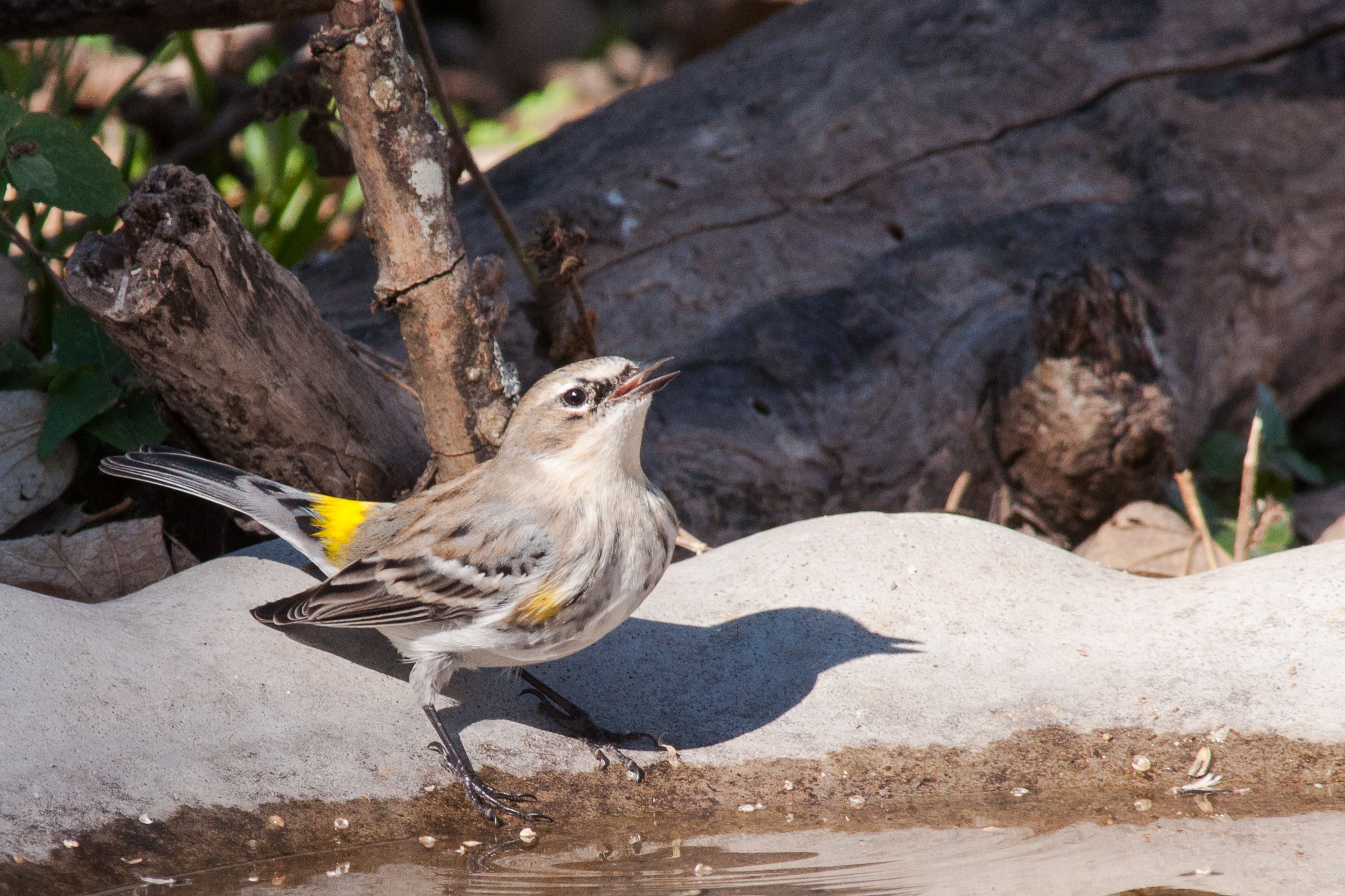 Species: Yellow-rumped Warbler Photo Credit:Alyssia Church Date: January 2017 Location: Crescent Bend Nature Park