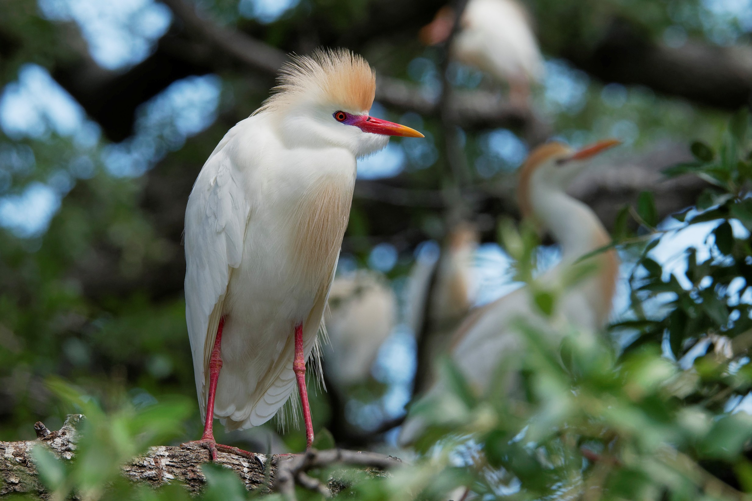 Species: Cattle Egret Photo Credit: Dina Perry Date: May 2018 Location: Brackenridge Park