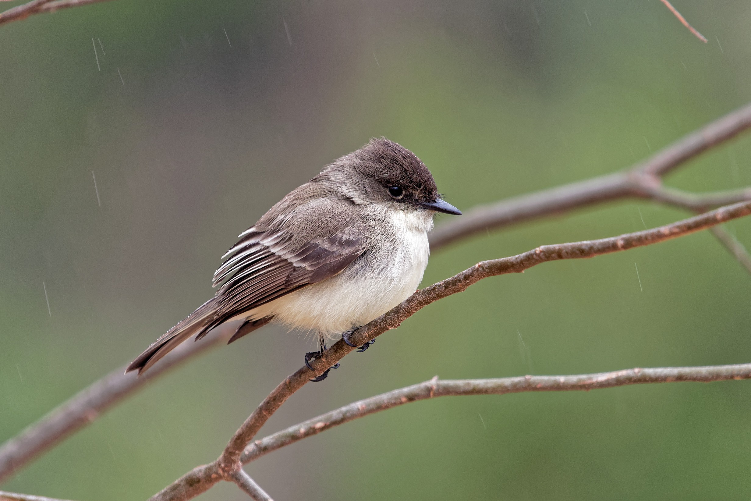 Species: Eastern Phoebe Photo Credit: Dina Perry Date: January 2018 Location: Headwaters Sanctuary