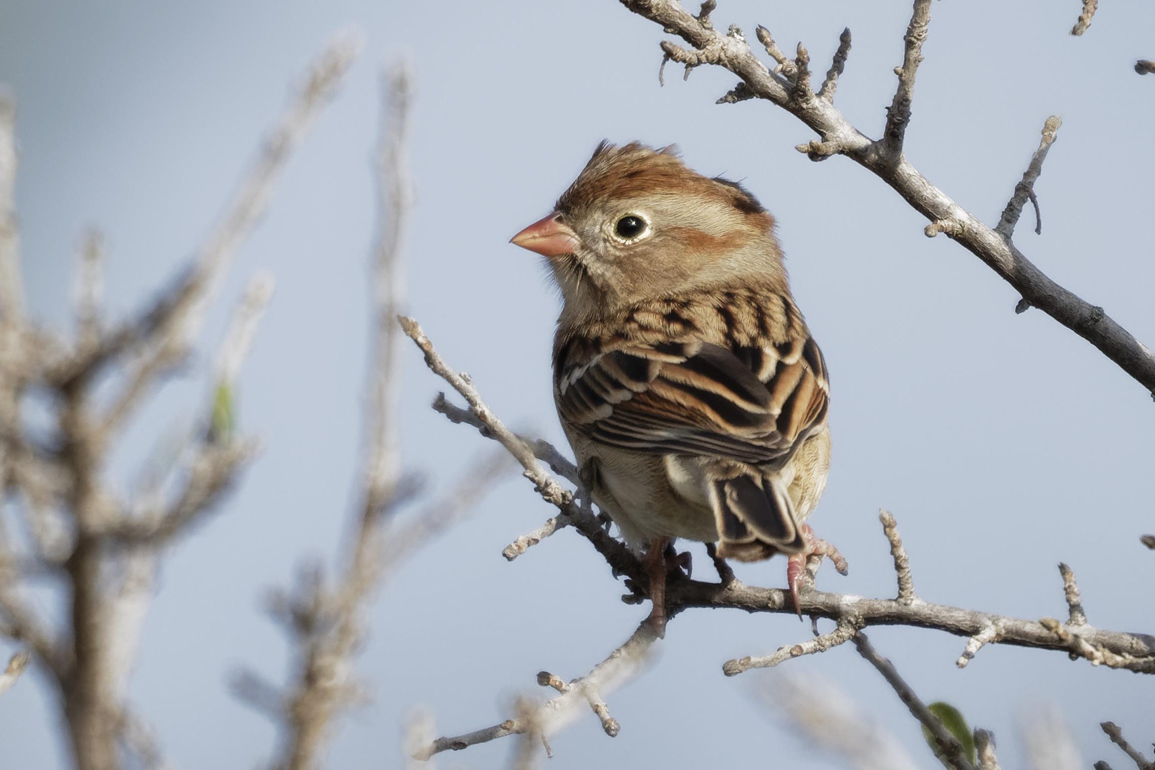 Species: Field Sparrow Photo Credit: Dina Perry Date: December 2018 Location: Stone Oak Park