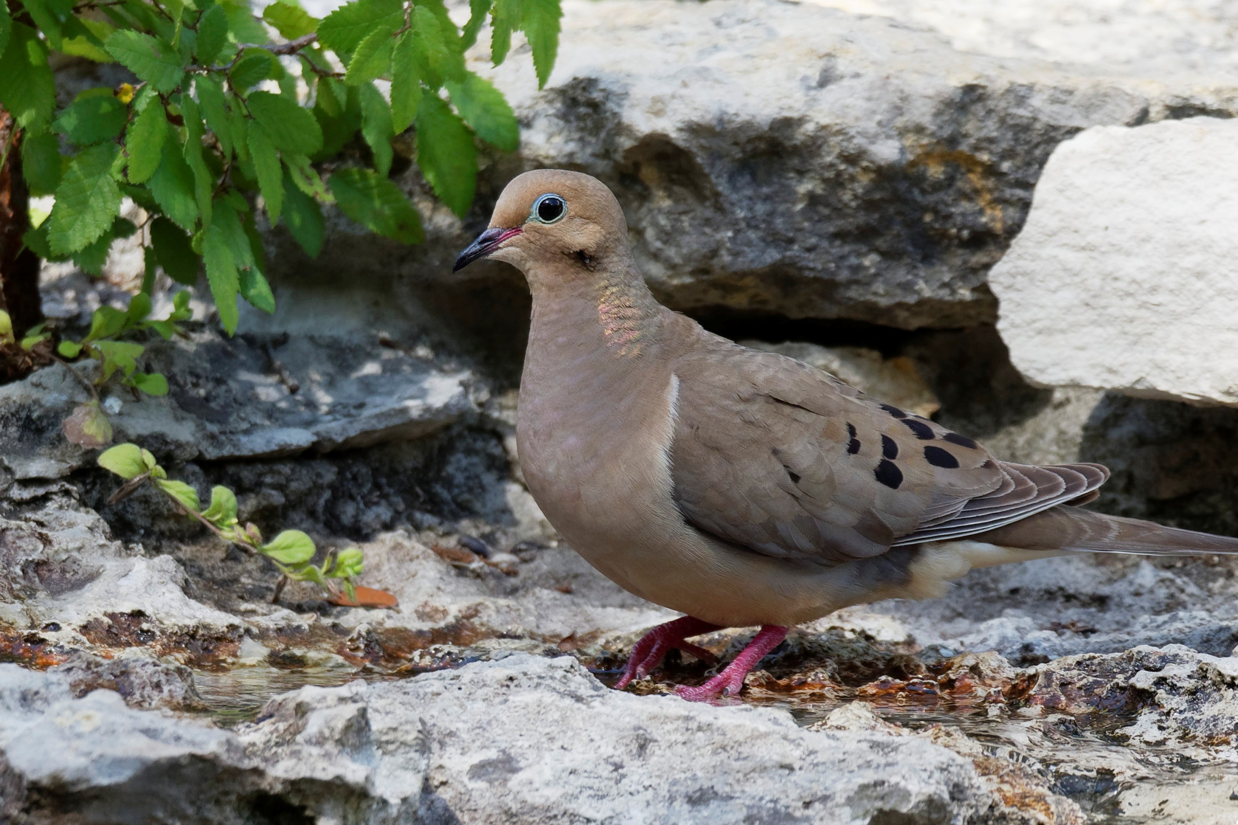 Species: Mourning Dove Photo Credit: Dina Perry Date: June 2018 Location: Guadalupe River SP