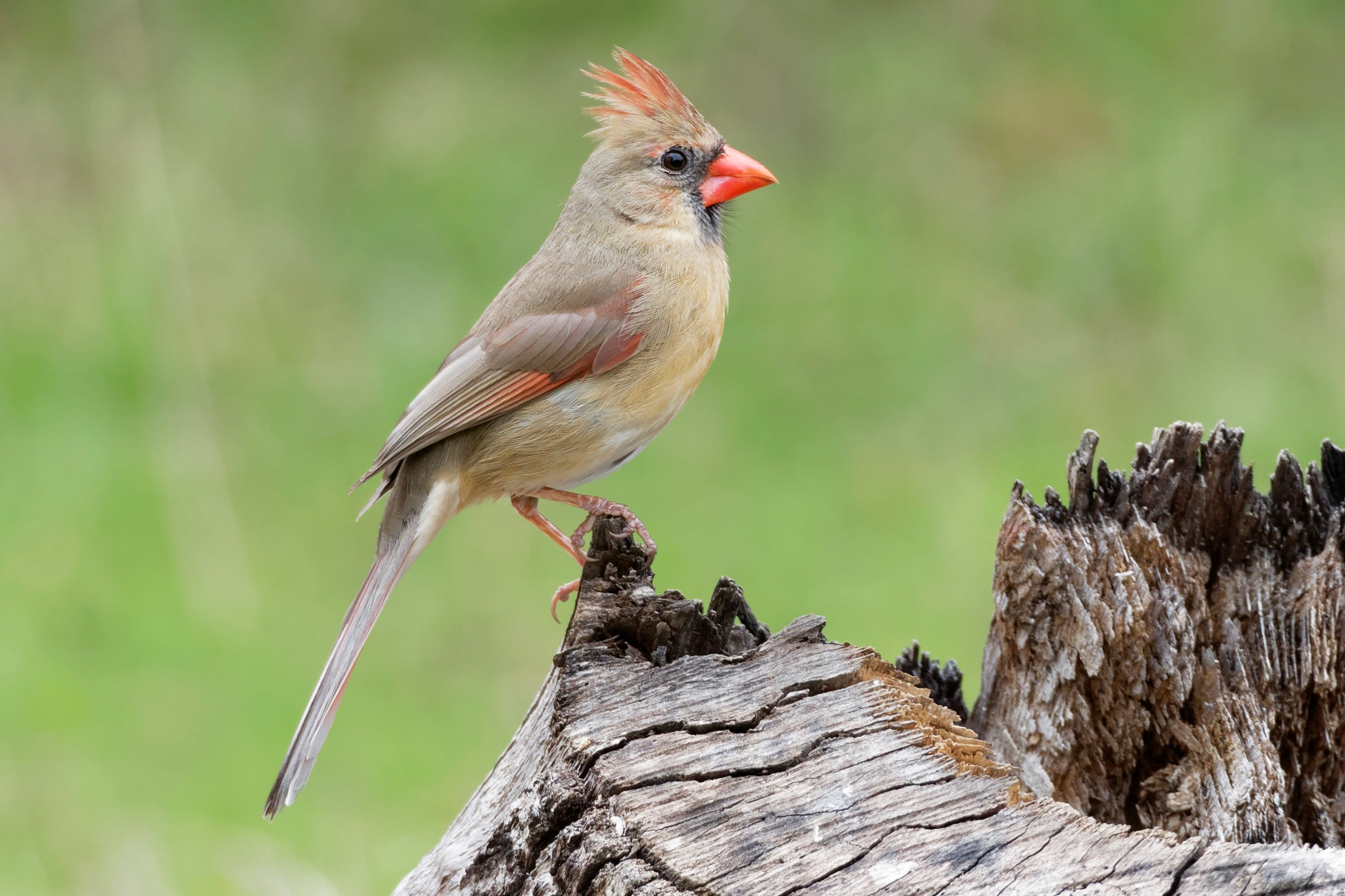 Species: Northern Cardinal Photo Credit: Dina Perry Date: March 2018 Location: Guadalupe River SP