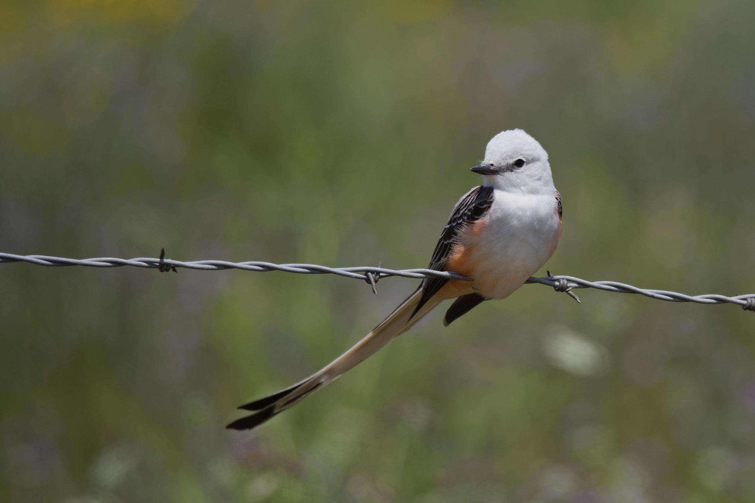 Species: Scissor-tailed Flycatcher Photo Credit: Dina Perry Date: April 2019 Location: Mitchell Lake Audubon Center