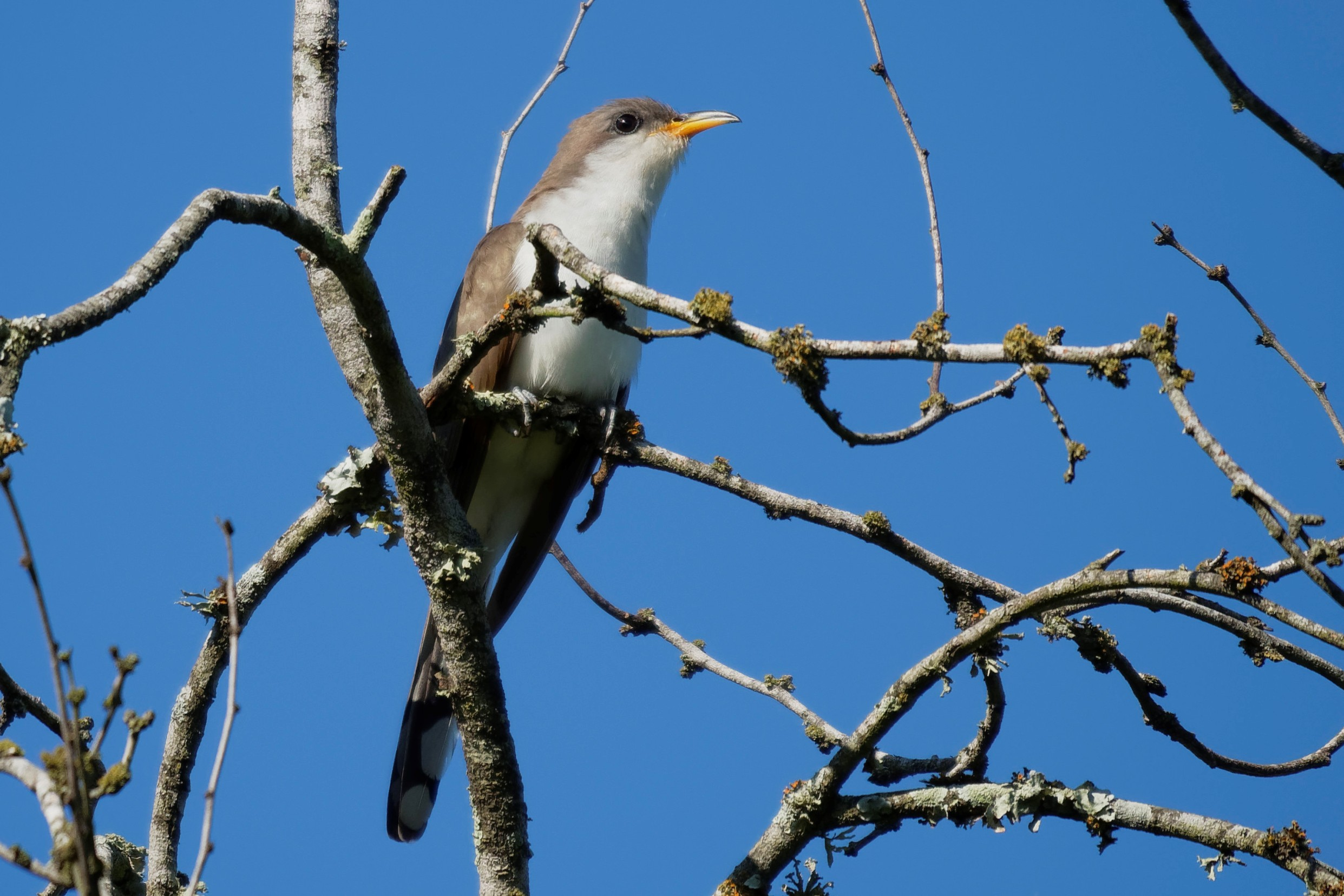 Species: Yellow-billed Cuckoo Photo Credit: Dina Perry Date: May 2018 Location: Crescent Bend Nature Park