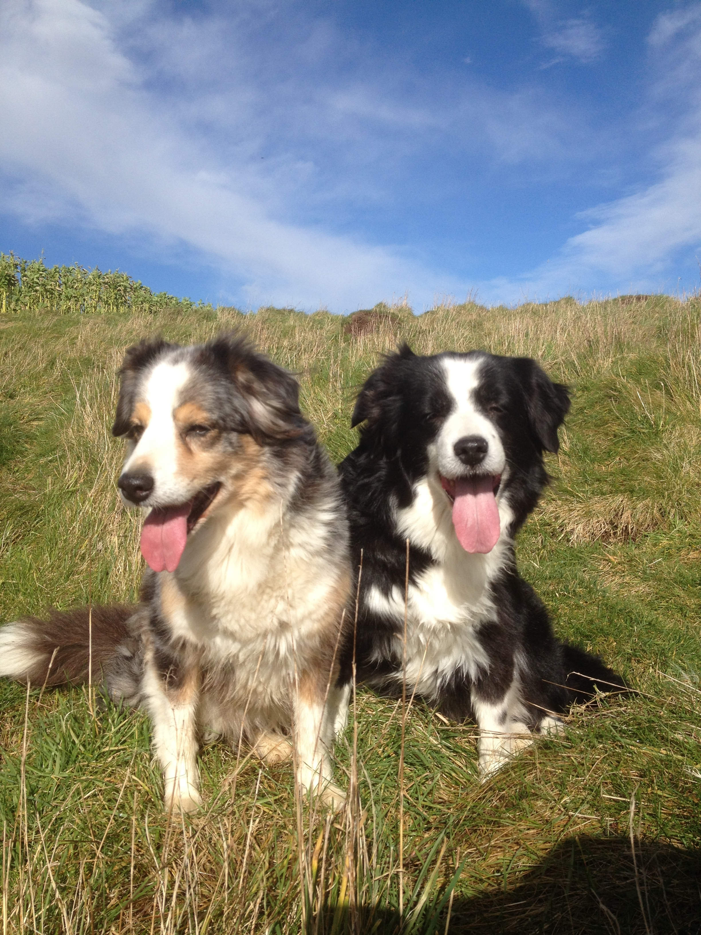 My dogs Llyn and Zip in their younger years!