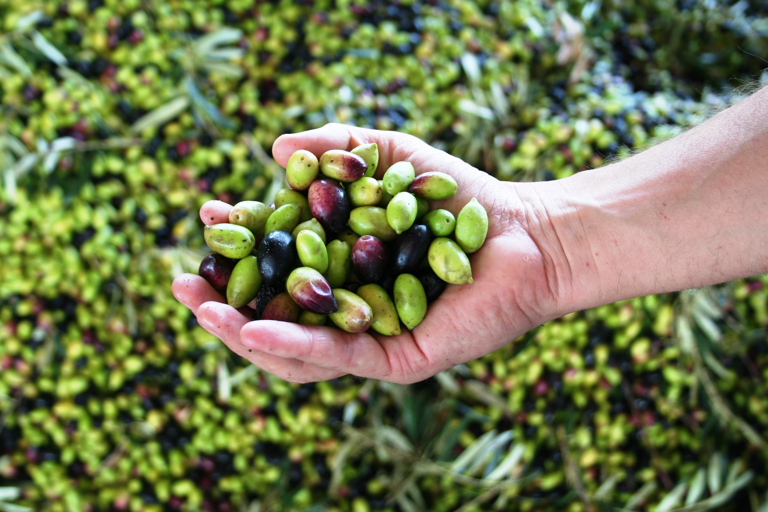 Olives in hand Aus.jpg