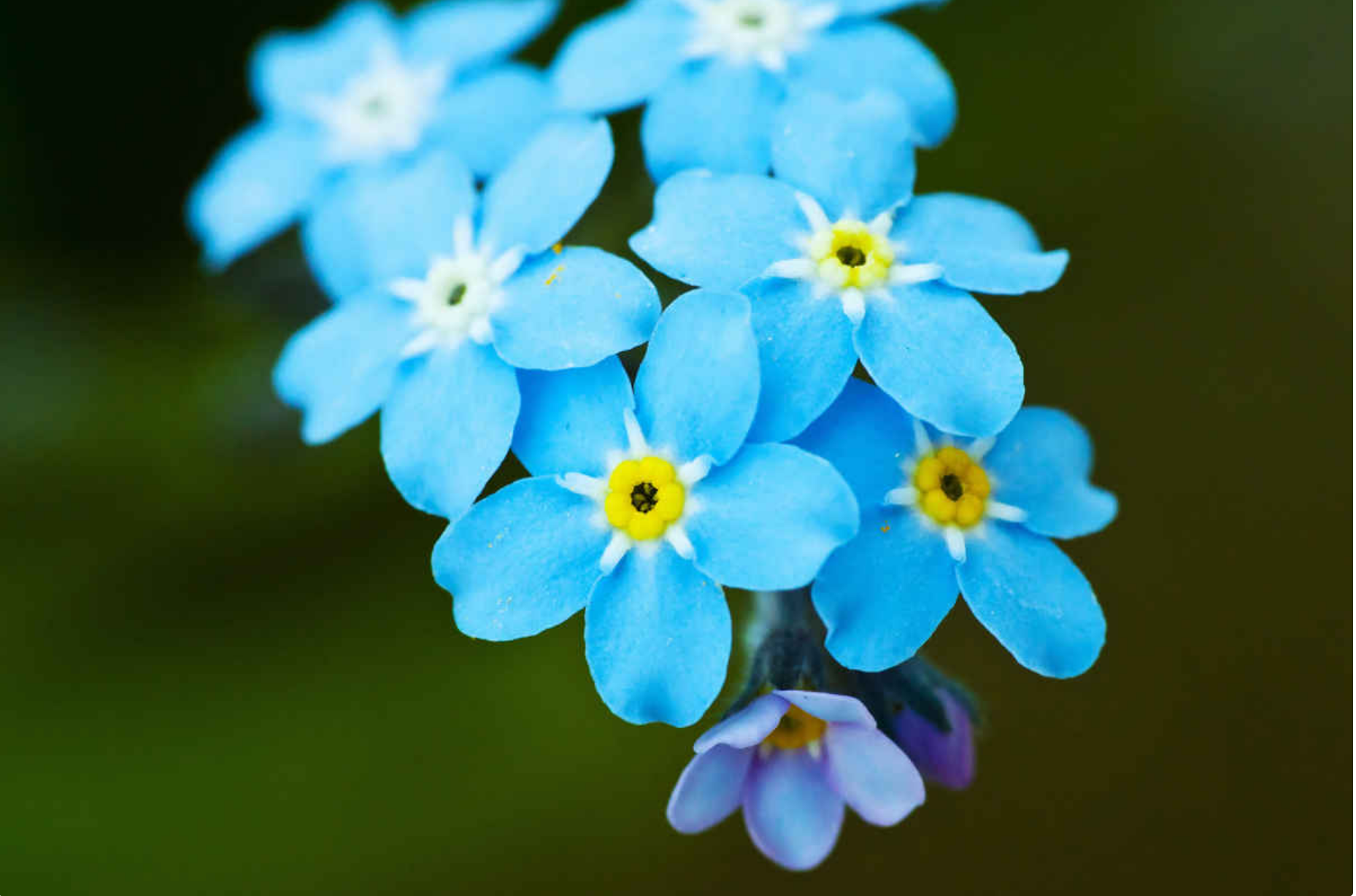 Forget-Me-Nots, Eye's of Mary (Photo: Creative Commons)