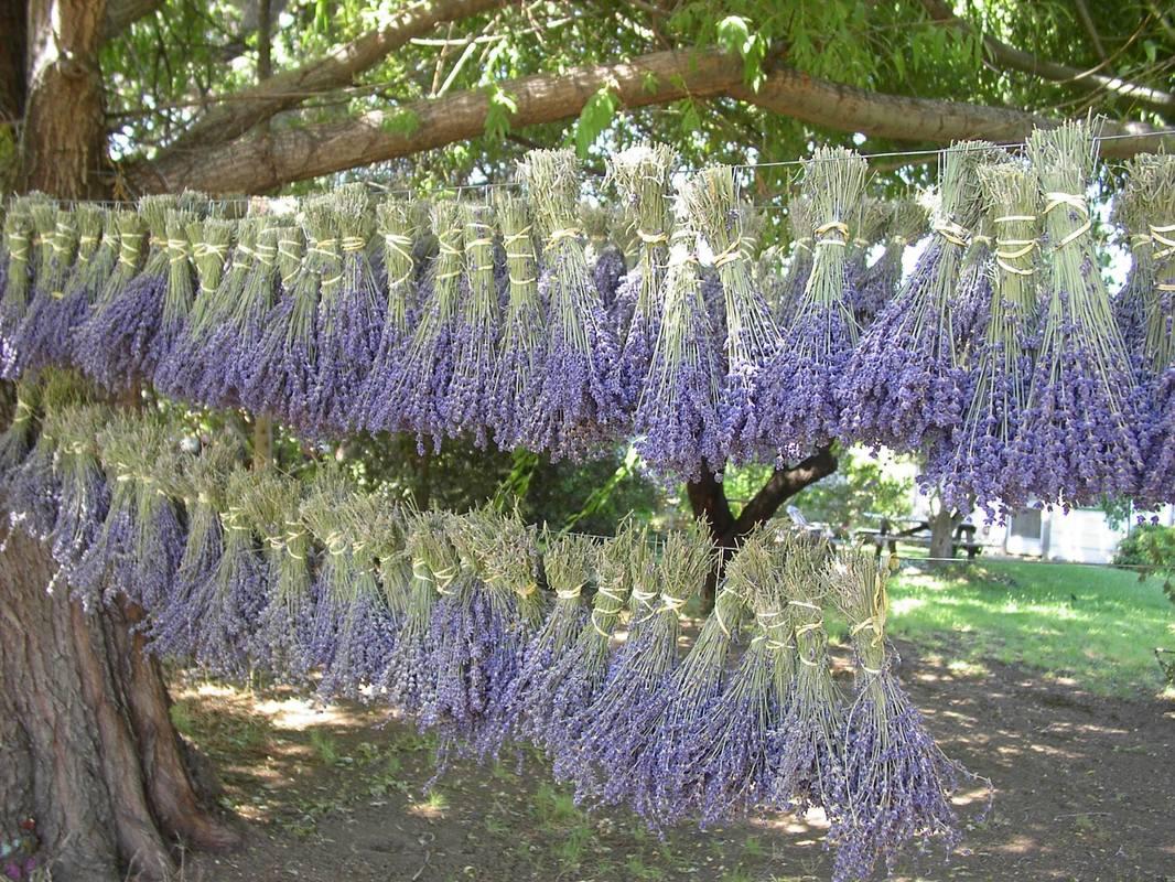 lavender-hanging_orig.jpg