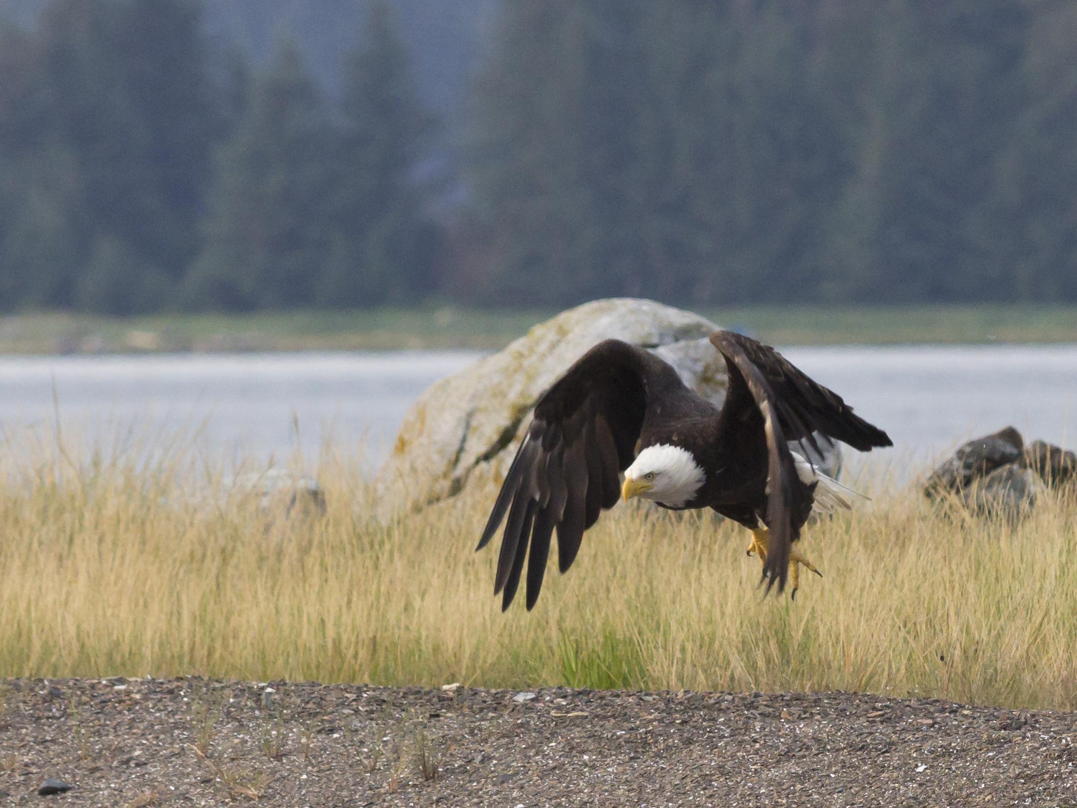 2013-07-17 bald eagle at Swanson Harbor 02.jpg