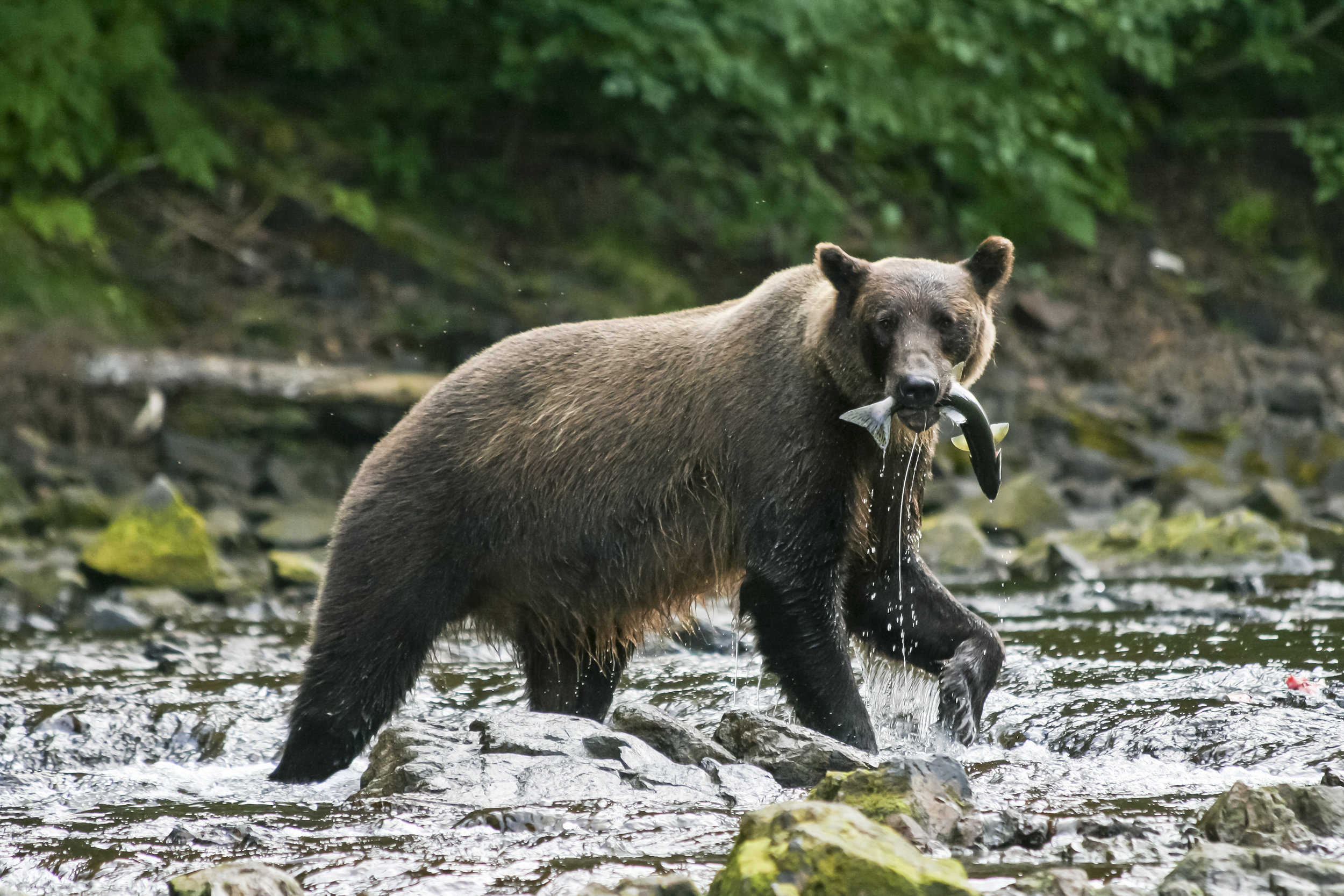 2009-08-10 - bear 4 - falls at Pavlof Bay 33b - best.jpg