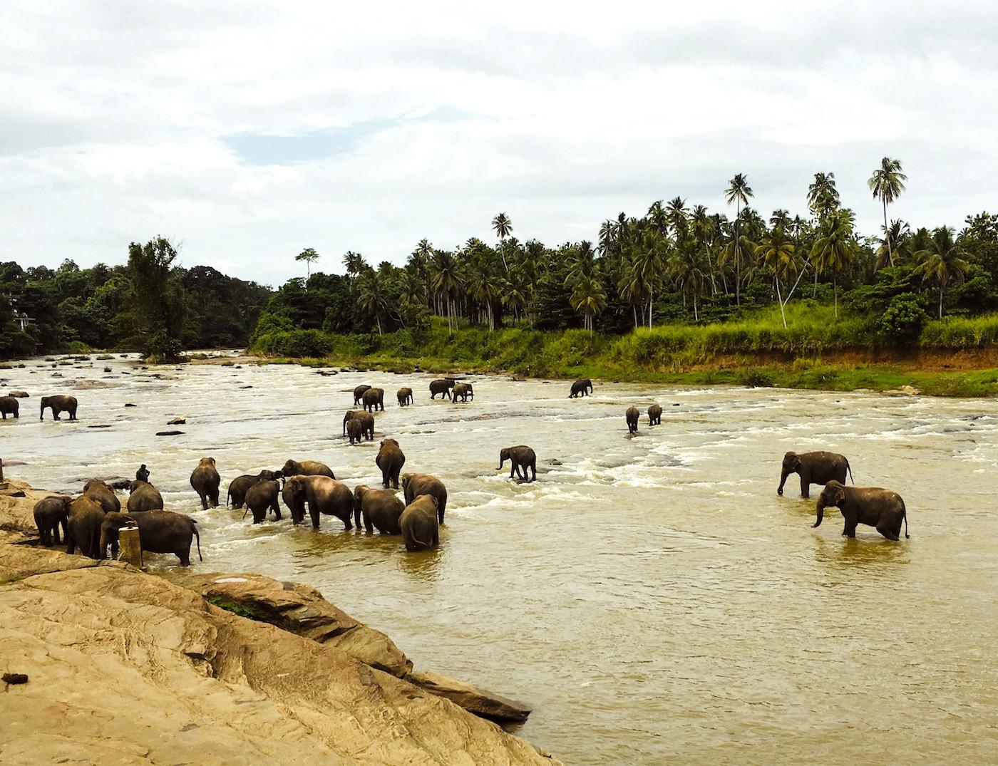Bath time for Pinnawala elephants, Sri Lanka. Photo: Patti Neves