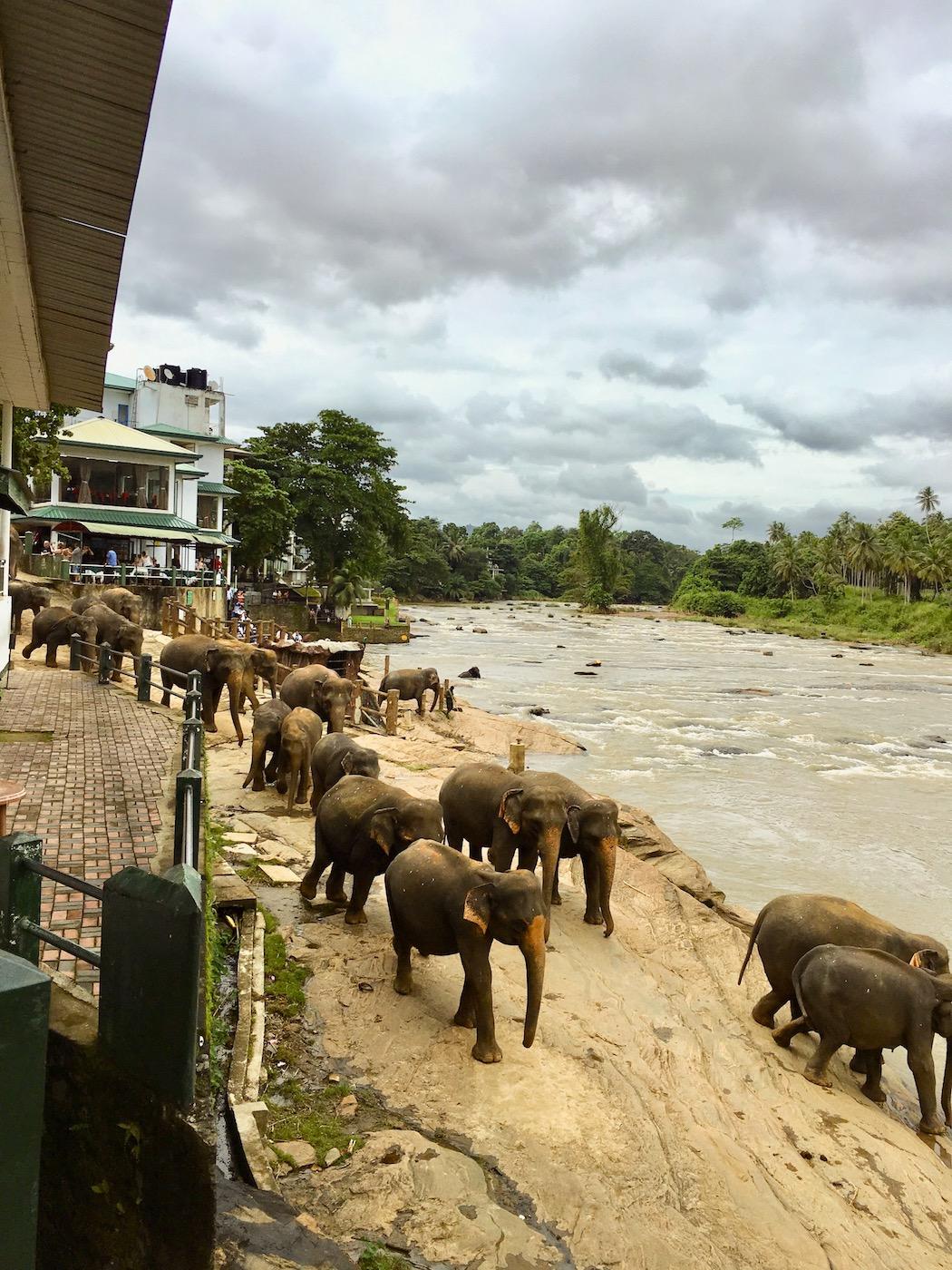 Arrival of elephants at Maha Oya River. Photo: Patti Neves