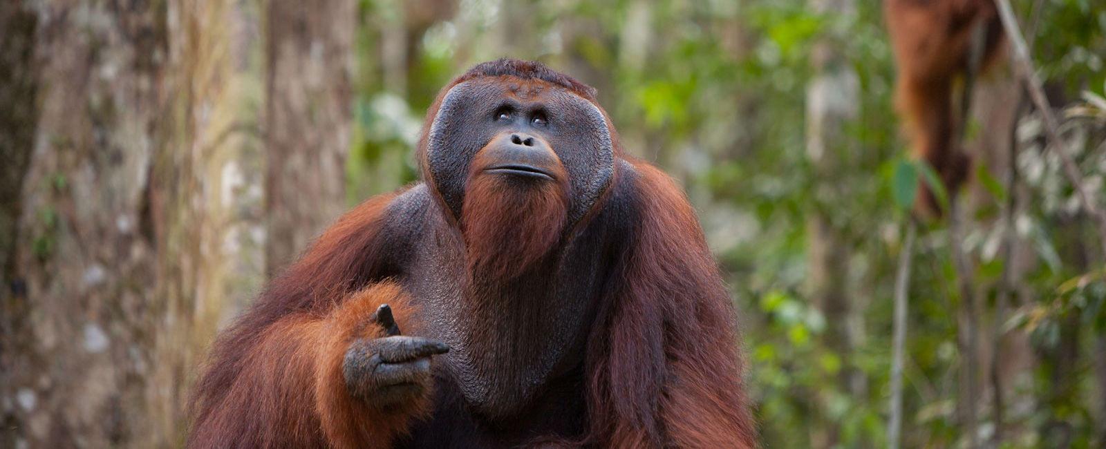 Orangotando no Sudeste Asiático. Foto: OFI