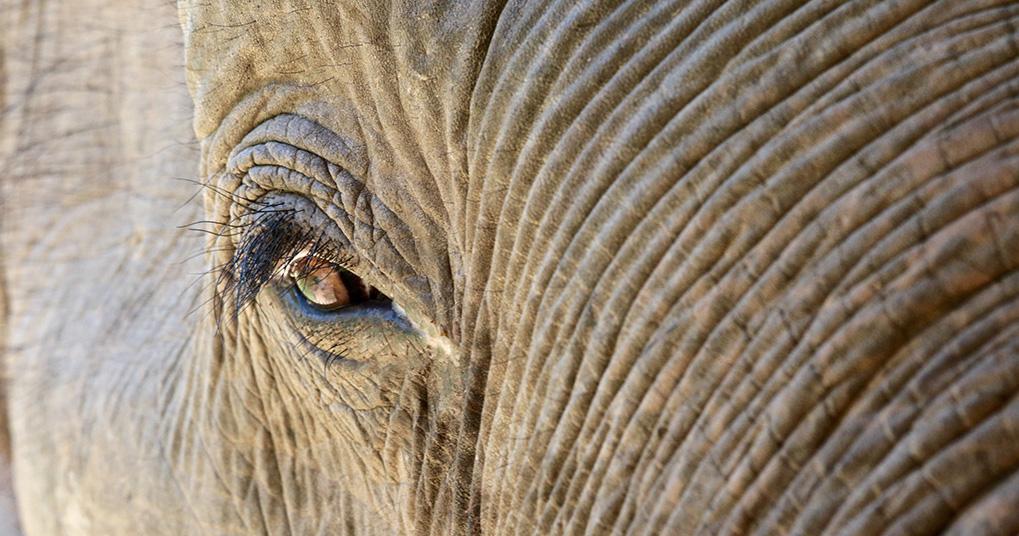 Elefant from Boon Lott Sanctuary, Thailand. Photo:  Blesele