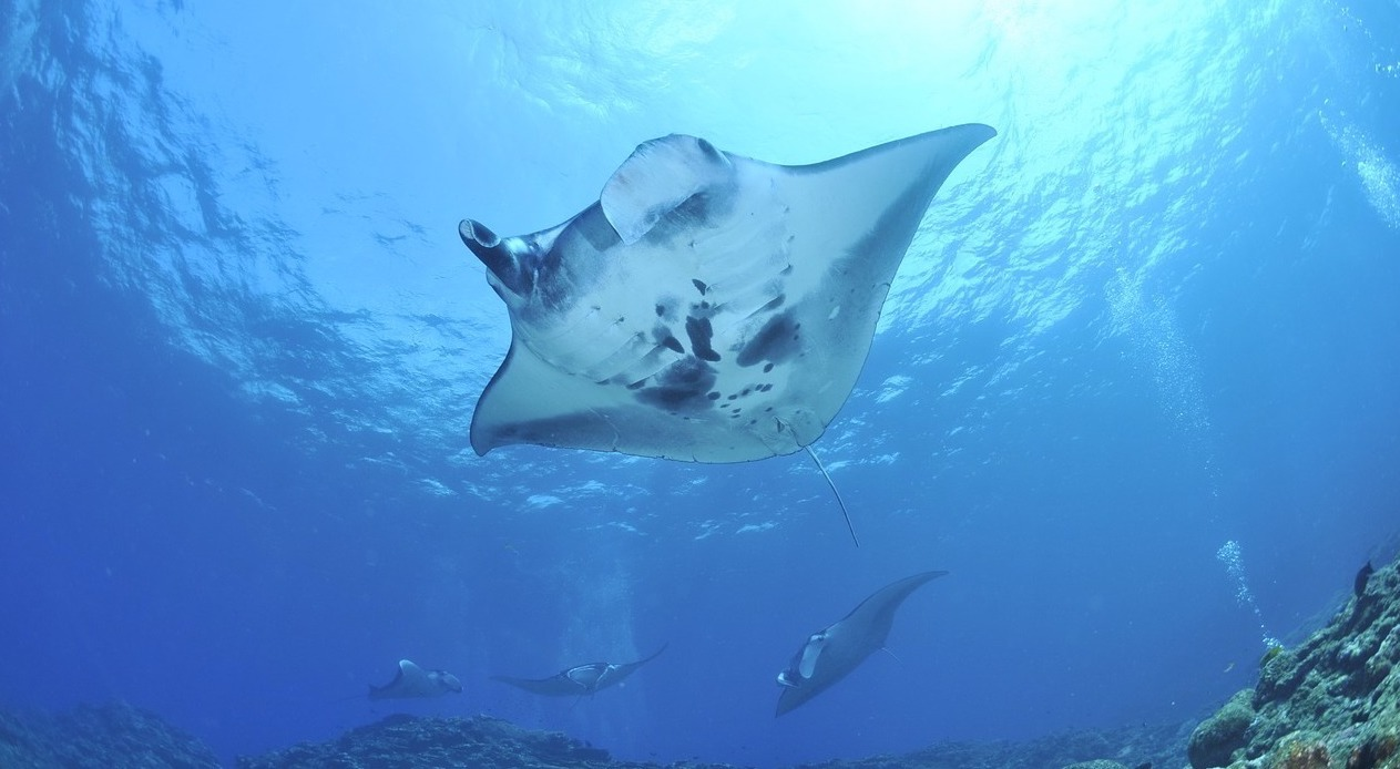 Animal volunteering in the Southeast Asia includes manta rays. Photo: Pixabay